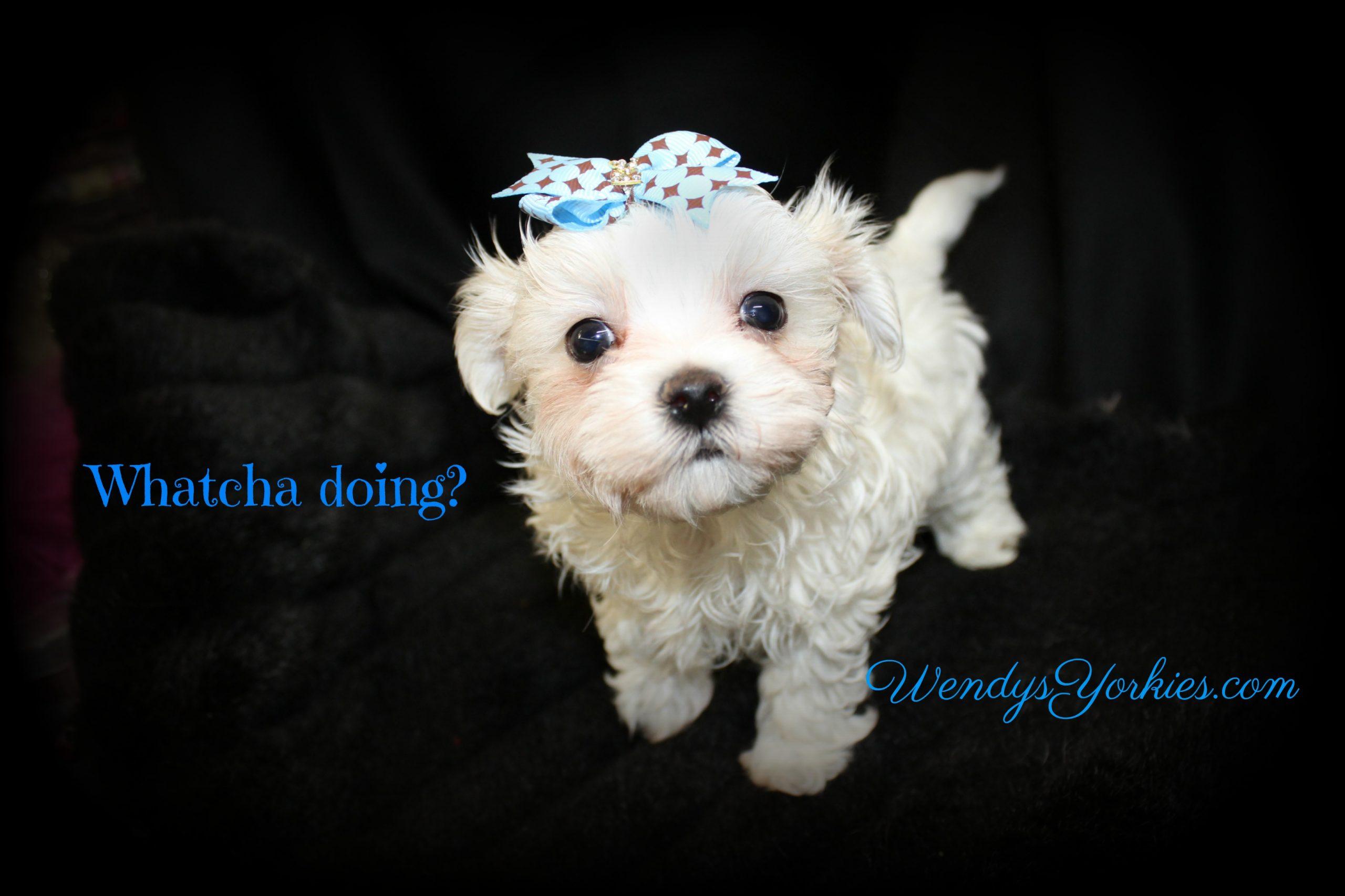 Cute Maltese puppy for sale in Texas, Zeus, WendysYorkies.com