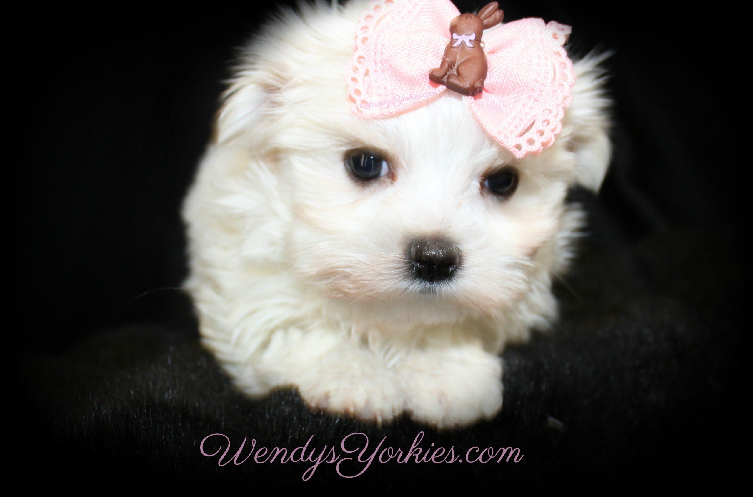 Cutest Maltese puppy for sale, Ellie, Female Maltese puppy for sale in Texas, WendysYorkies.com