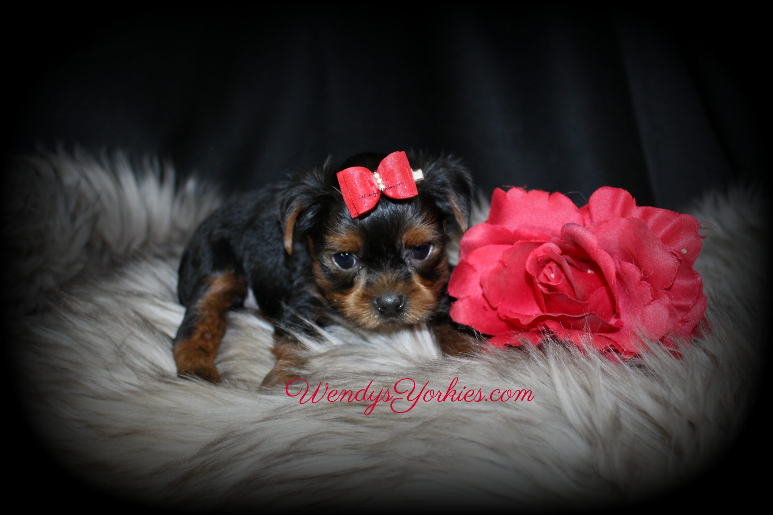 Cutest Yorkie puppy for sale in Texas, WendysYorkies.com