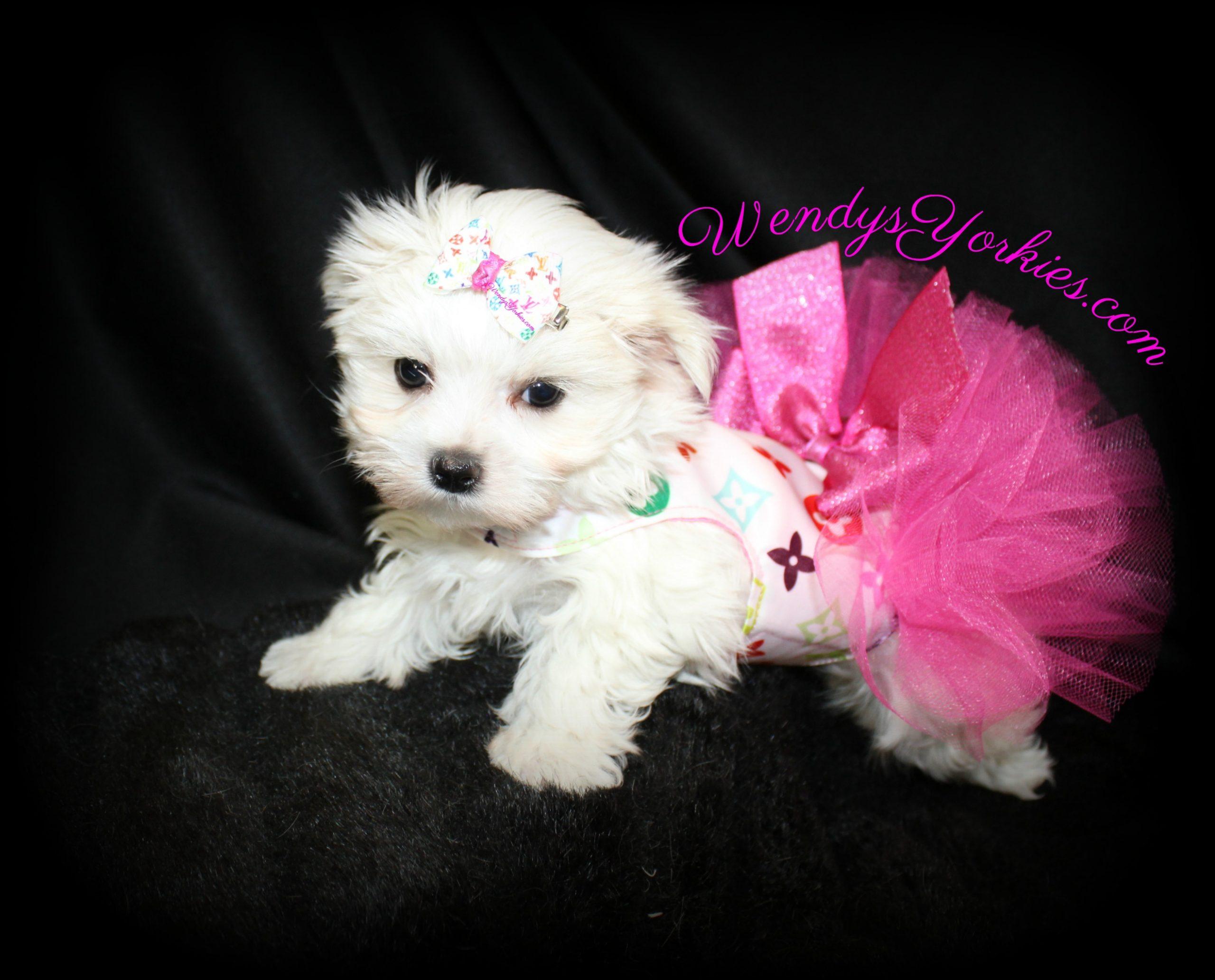 Female Maltese puppy for sale, Ellie, WendysYorkies.com