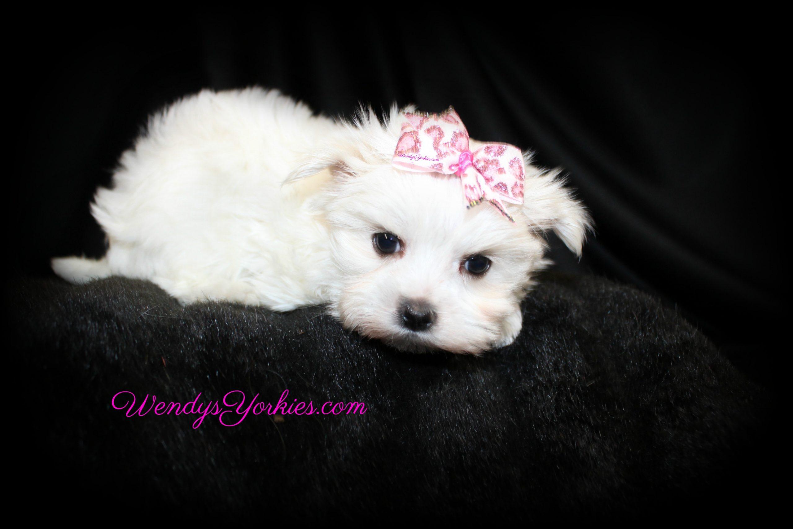 Female Maltese puppy for sale in Texas, Ellie,WendysYorkies.com