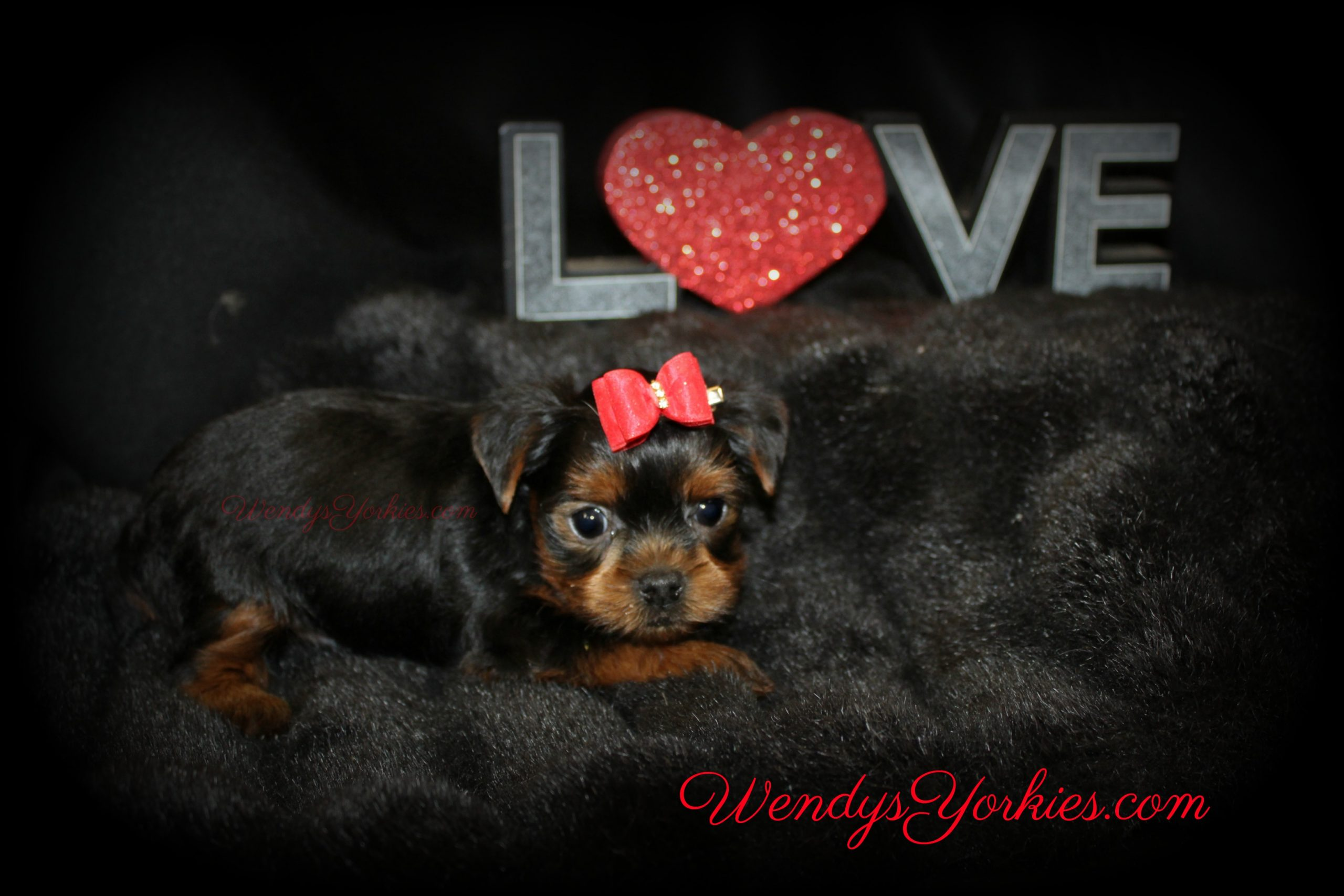 Love Yorkies, Yorkie puppy for sale, WendysYorkies.com