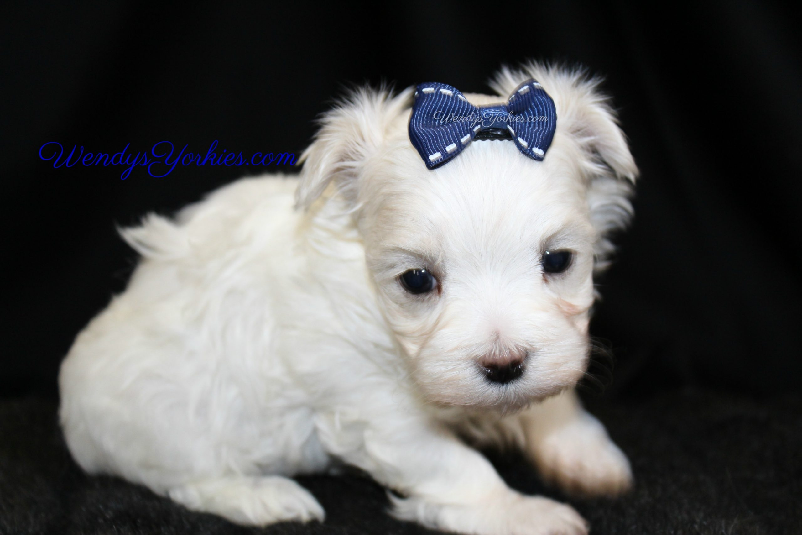 Male Maltese puppy for sale, Tiny Maltese puppy for sale in Texas, WendysYorkies.com