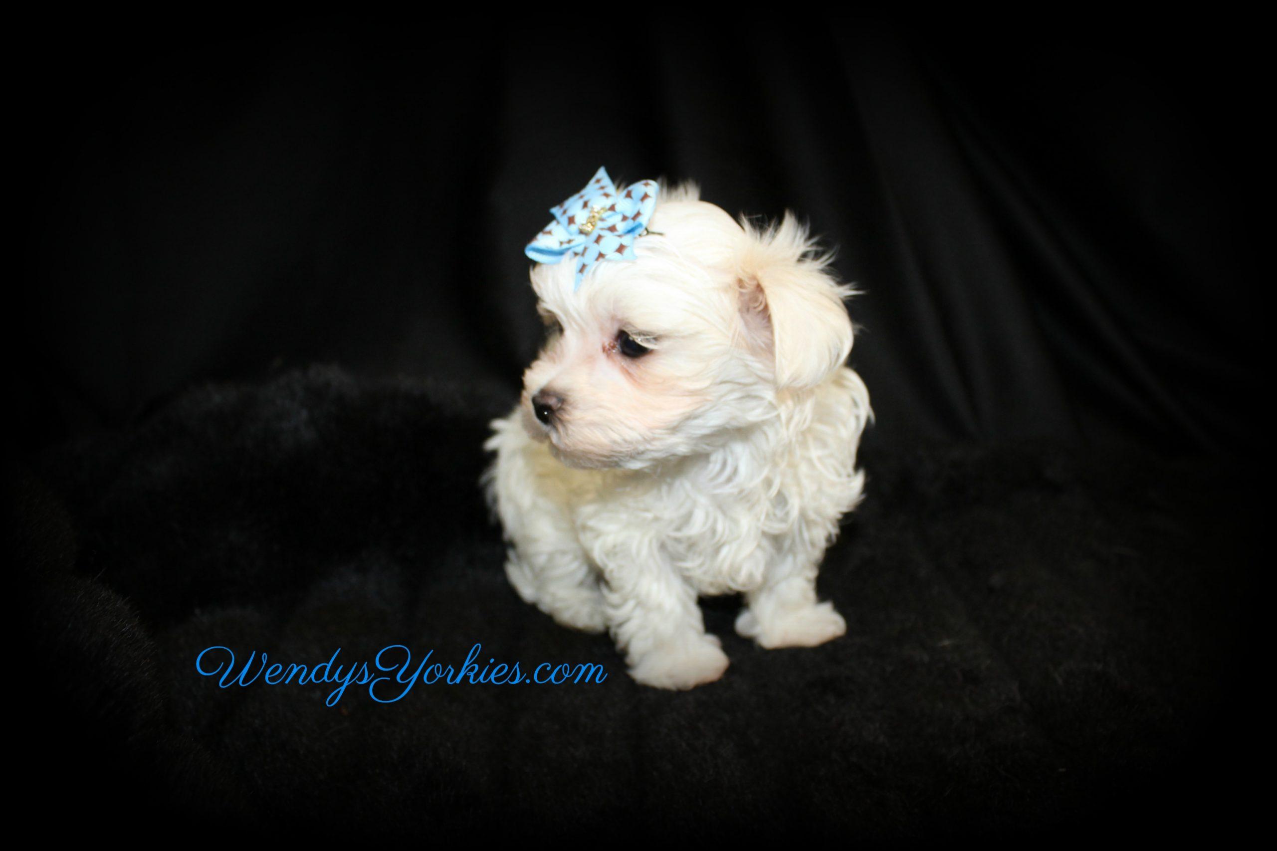 Male Maltese puppy for sale, Zeus, WendysYorkies.com