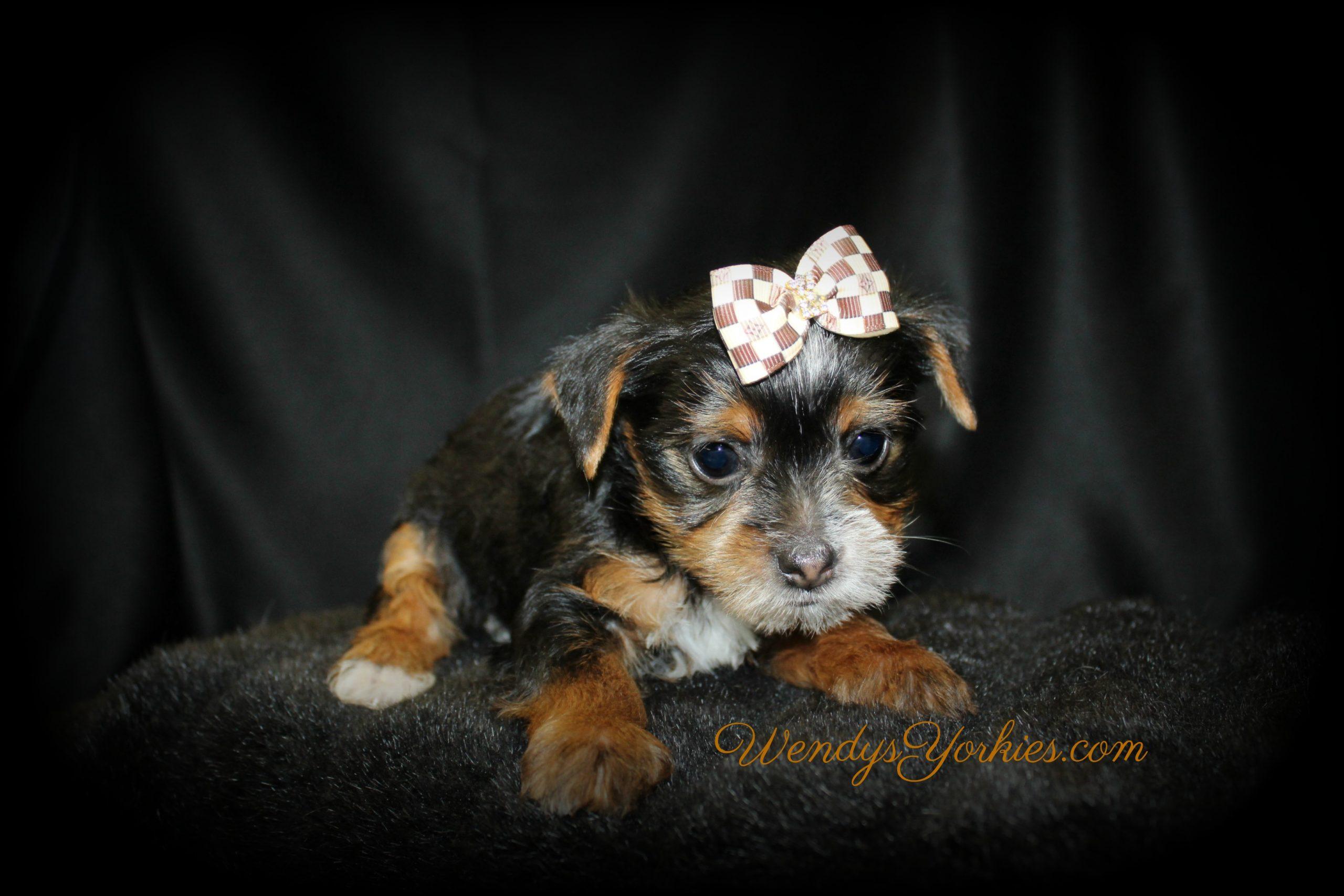 Male Parti Yorkie puppy, WendysYorkies.com
