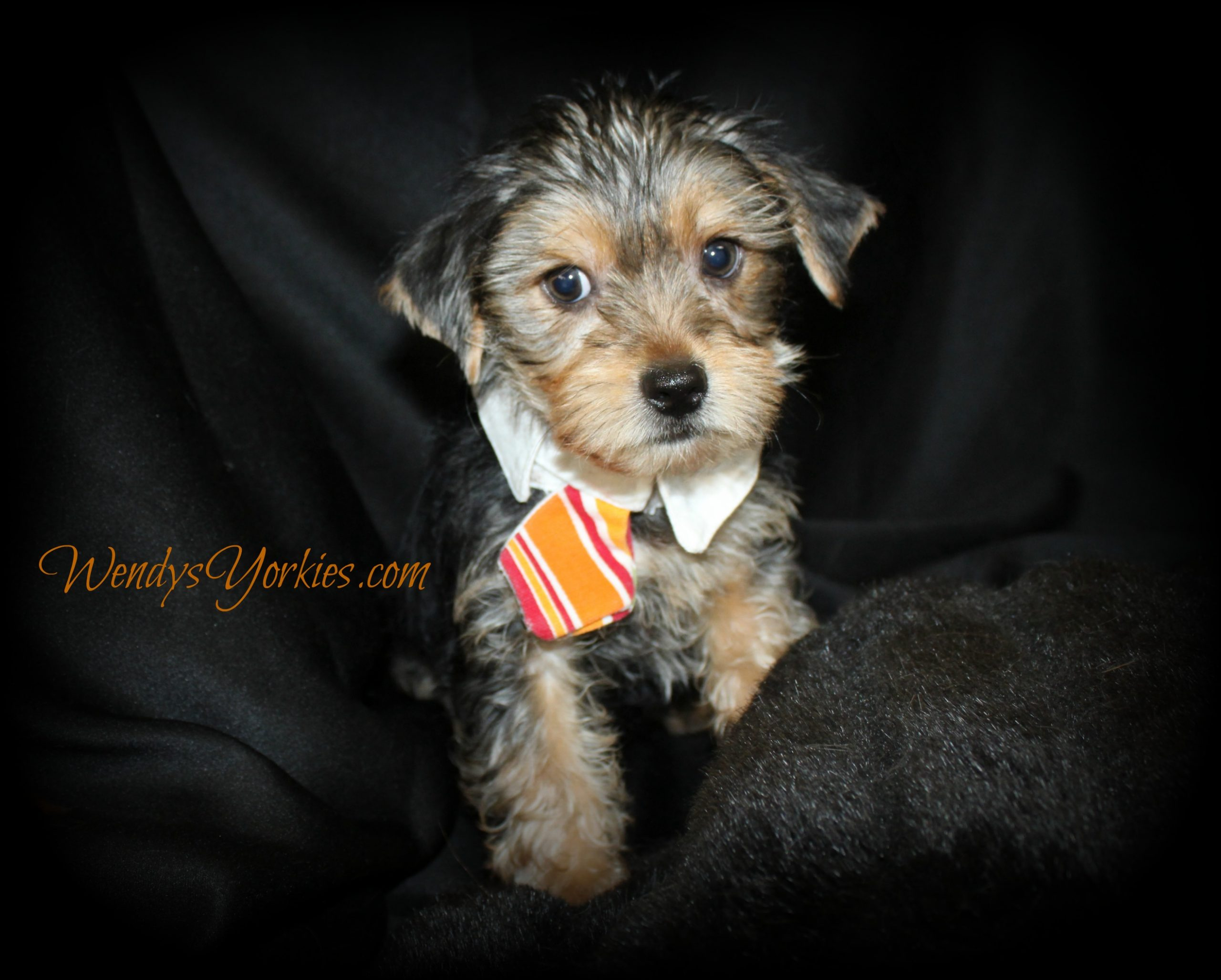 Male YOrkie puppy for sale, WendysYorkies.comor
