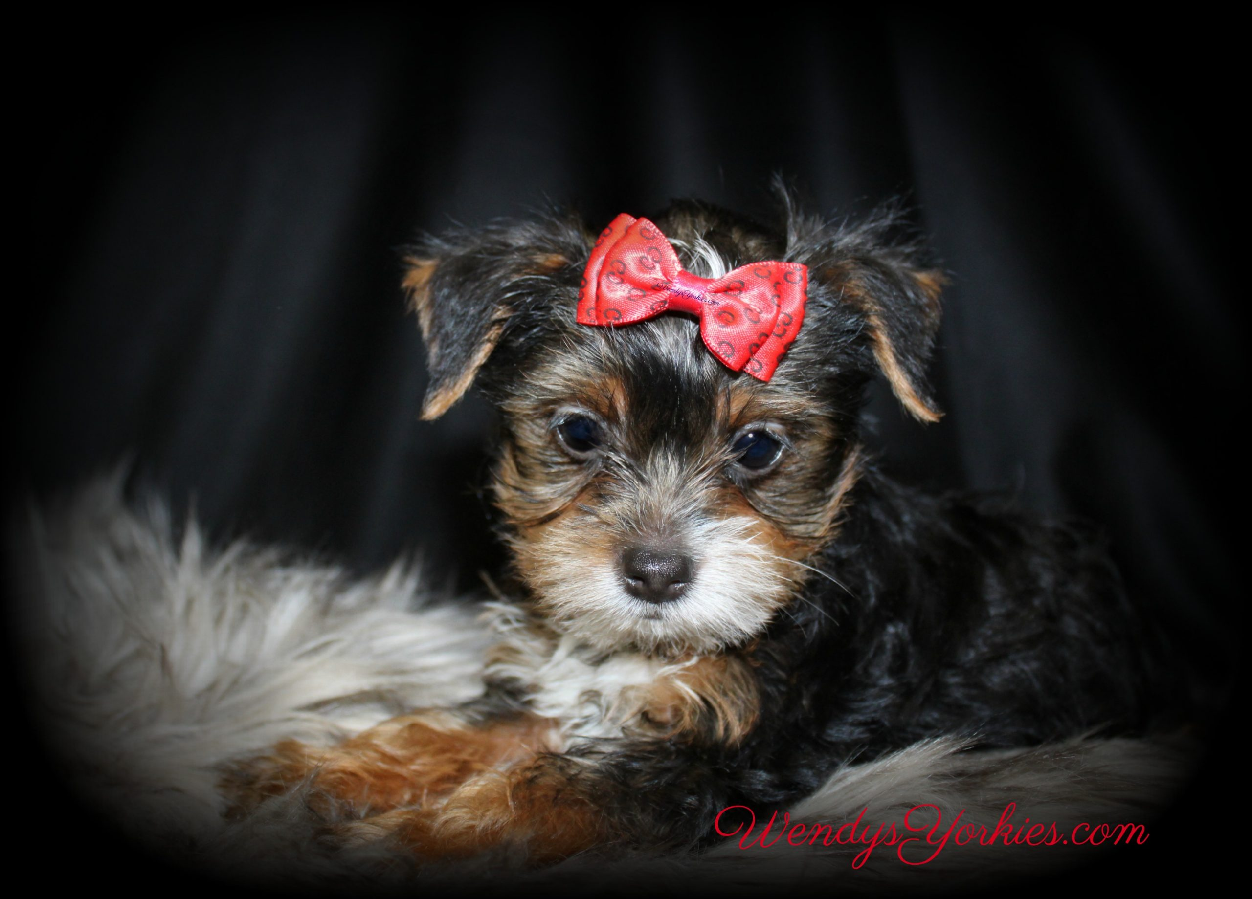 Male Yorkie puppy for sale, Oreo, WendysYorkies.com