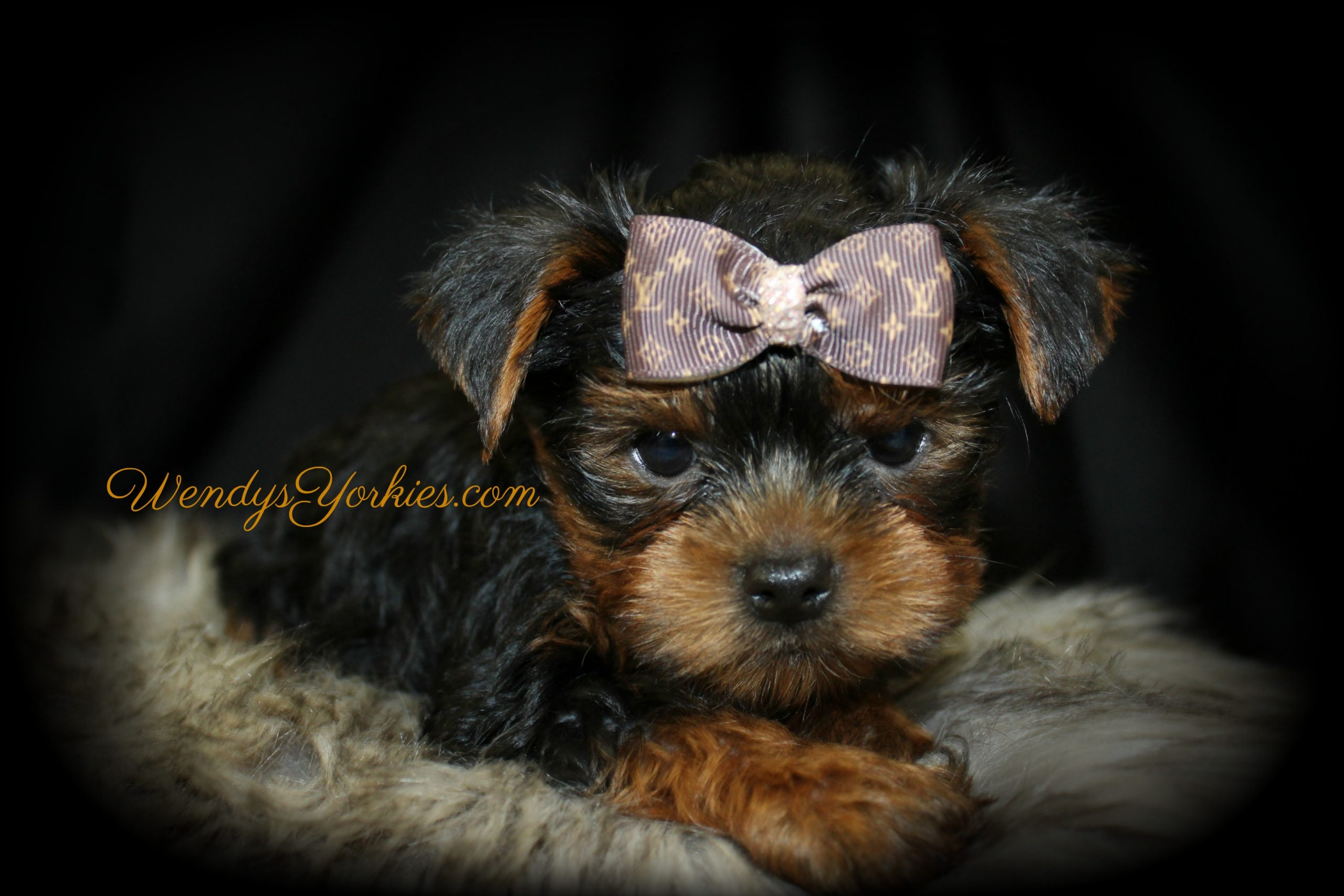 Male Yorkie puppy for sale in Texas, Louie, WendysYorkies.com