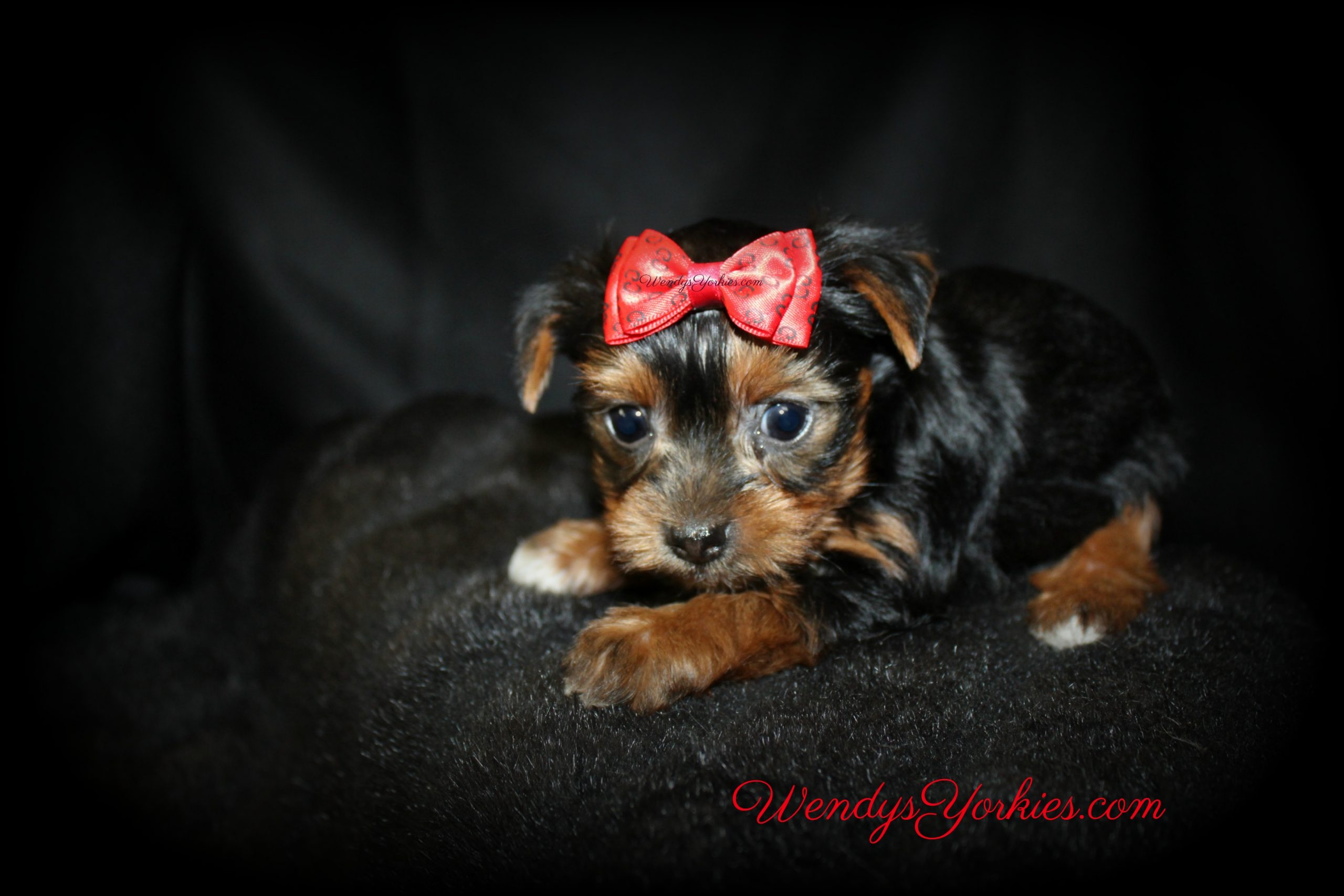 Male Yorkie puppy for sale in Texas, WendysYorkies.com