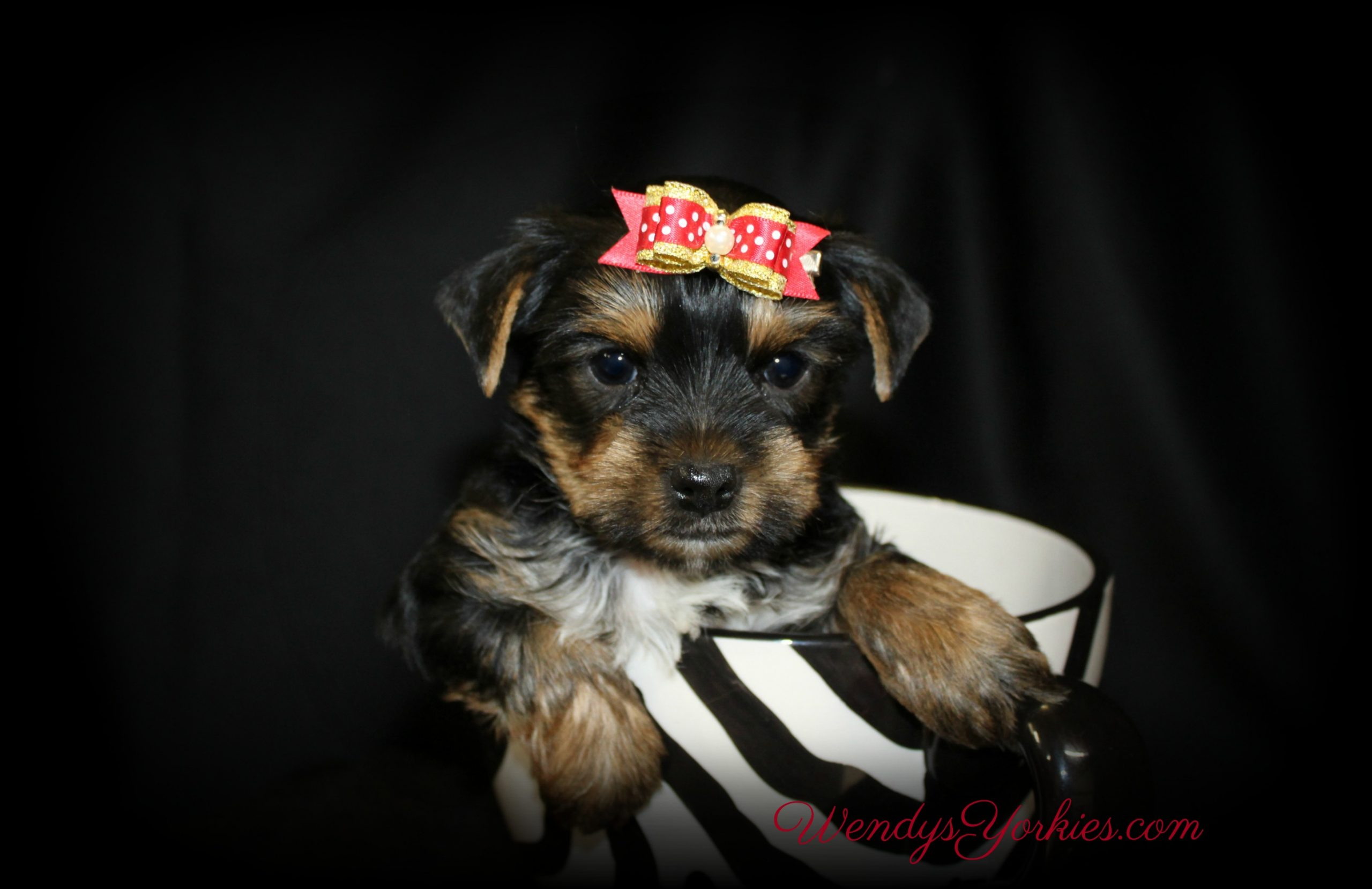 Male Yorkie puppy for sale in Texas, Yorkie puppy for sale Florida, WendysYorkies.com