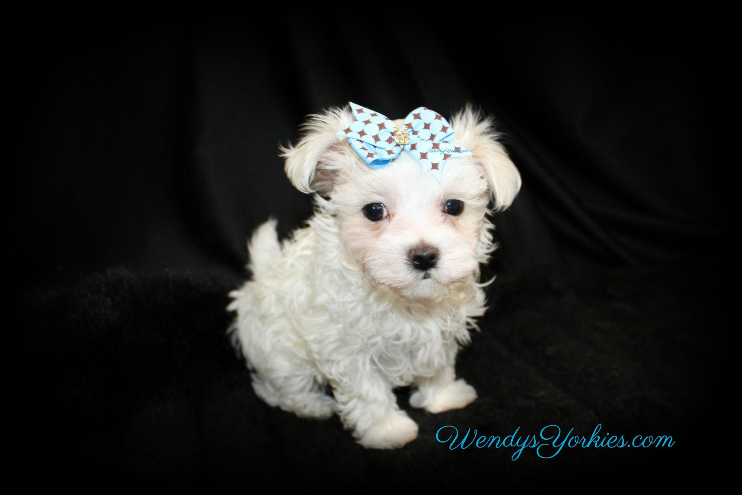 Maltese Puppy for sale, Male Maltese puppy for sale in Texas, WendysYorkies.com