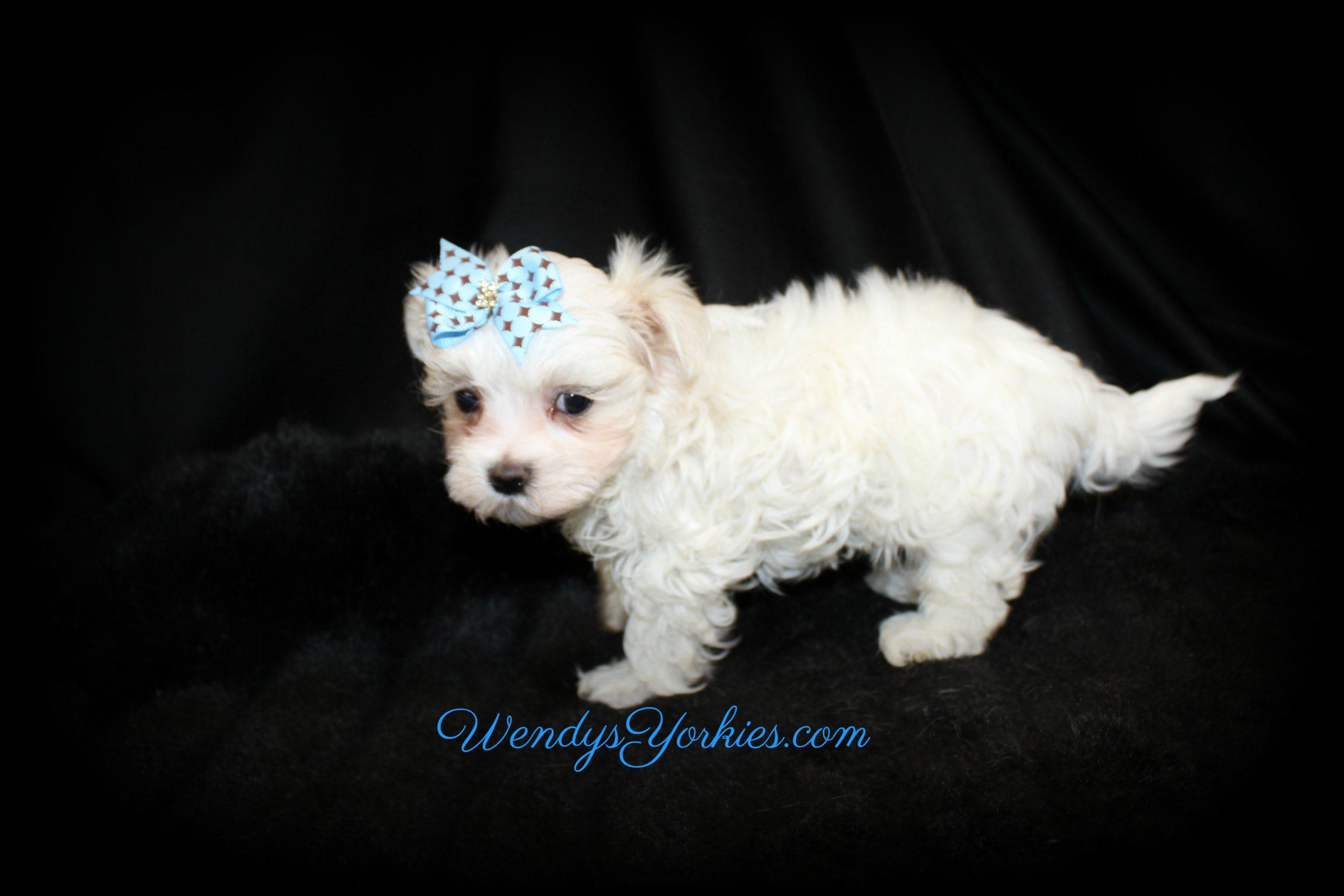 Maltese puppy Zeus, WendysYorkies.com