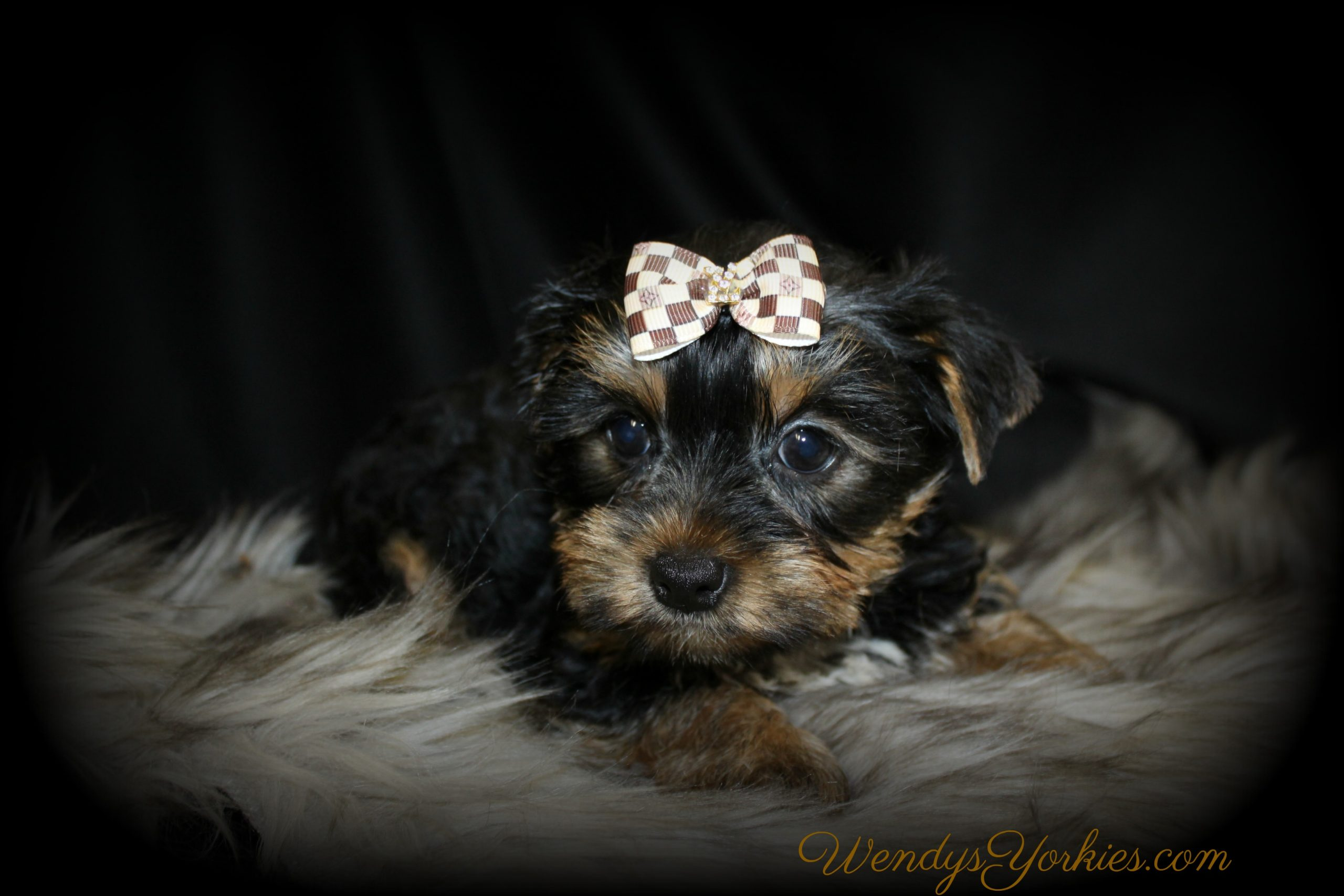 Oakley, WendysYorkies.com