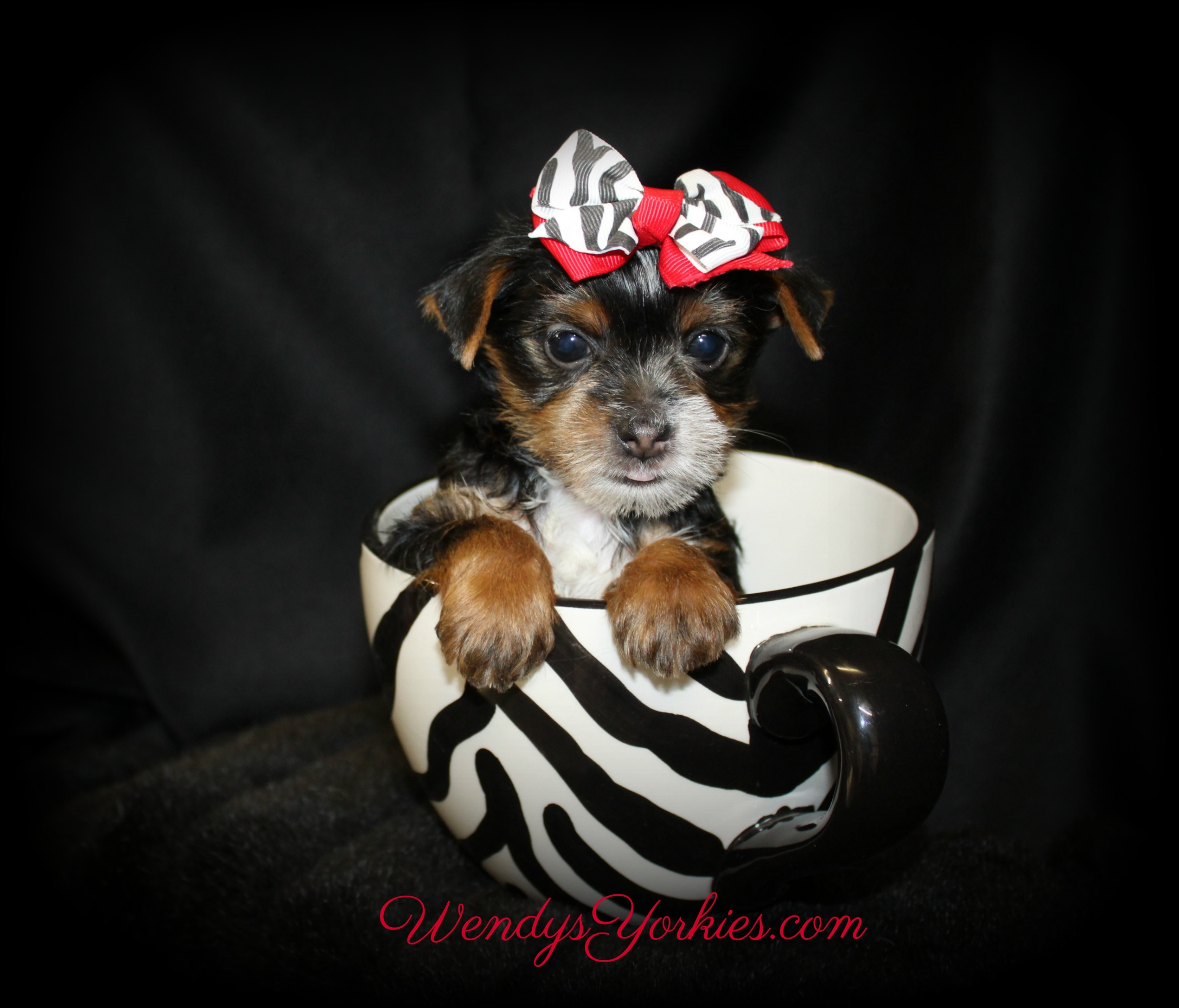 Parti Yorkie puppy for sale in Texas, WendysYorkies.com