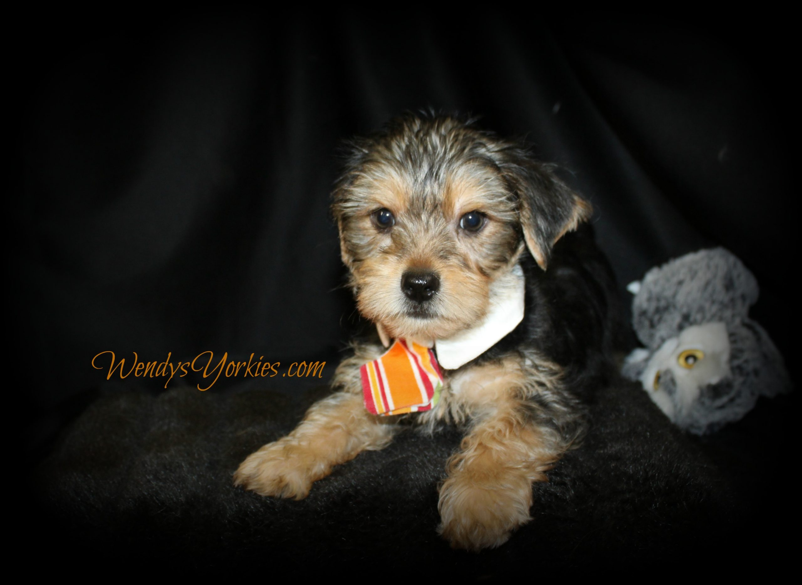Standard Yorkie puppy for sale in Texas, WendysYorkies.com
