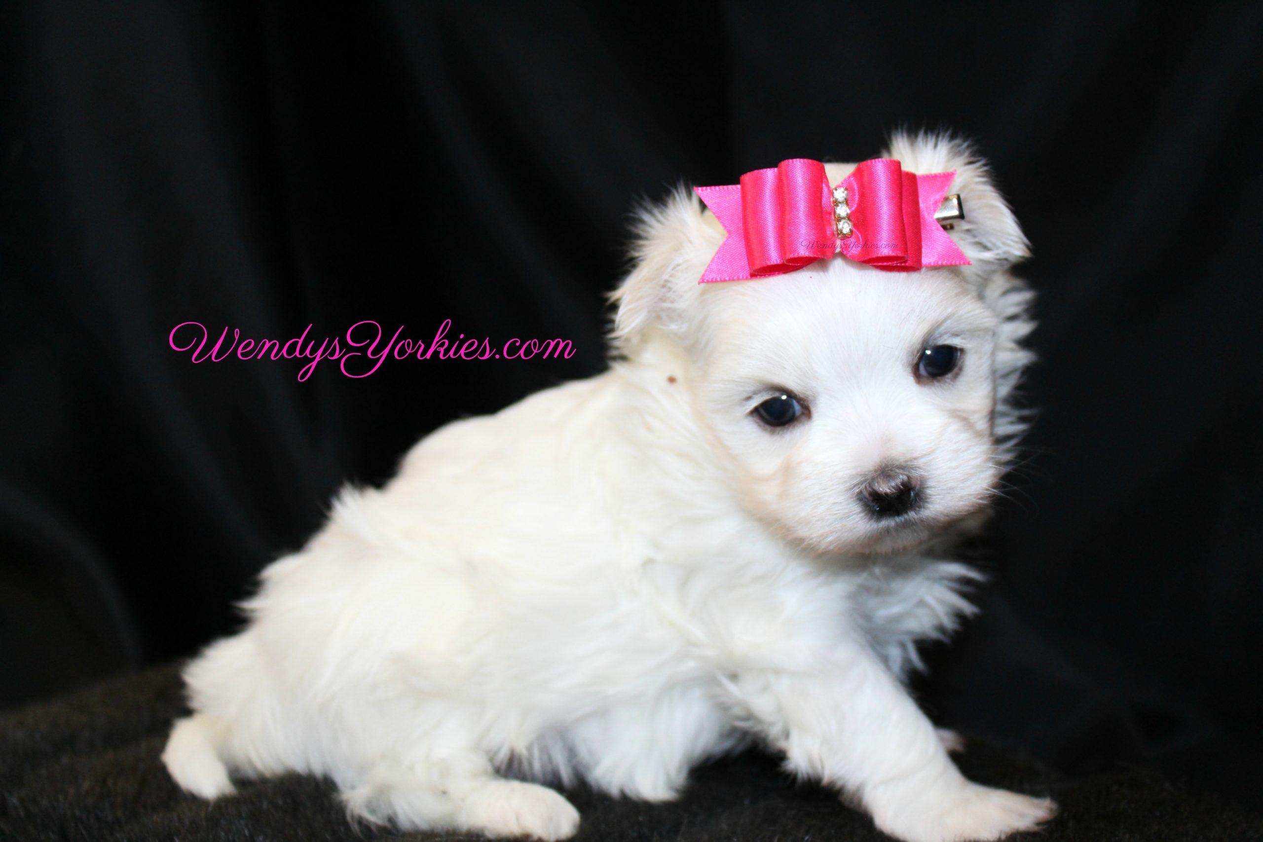 TEacup Maltese puppy for sale, Female Maltese for sale in Texas, WendysYorkies.com