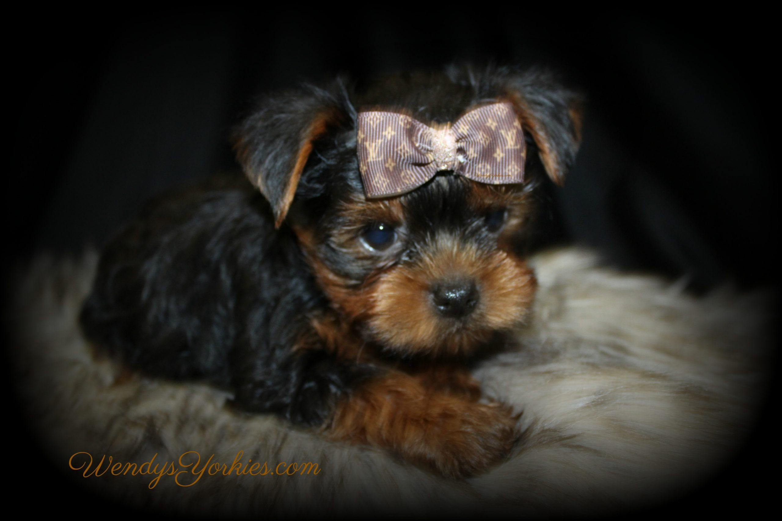 Teacup Male YOrkie puppy for sale, Louie, WendysYorkies.com