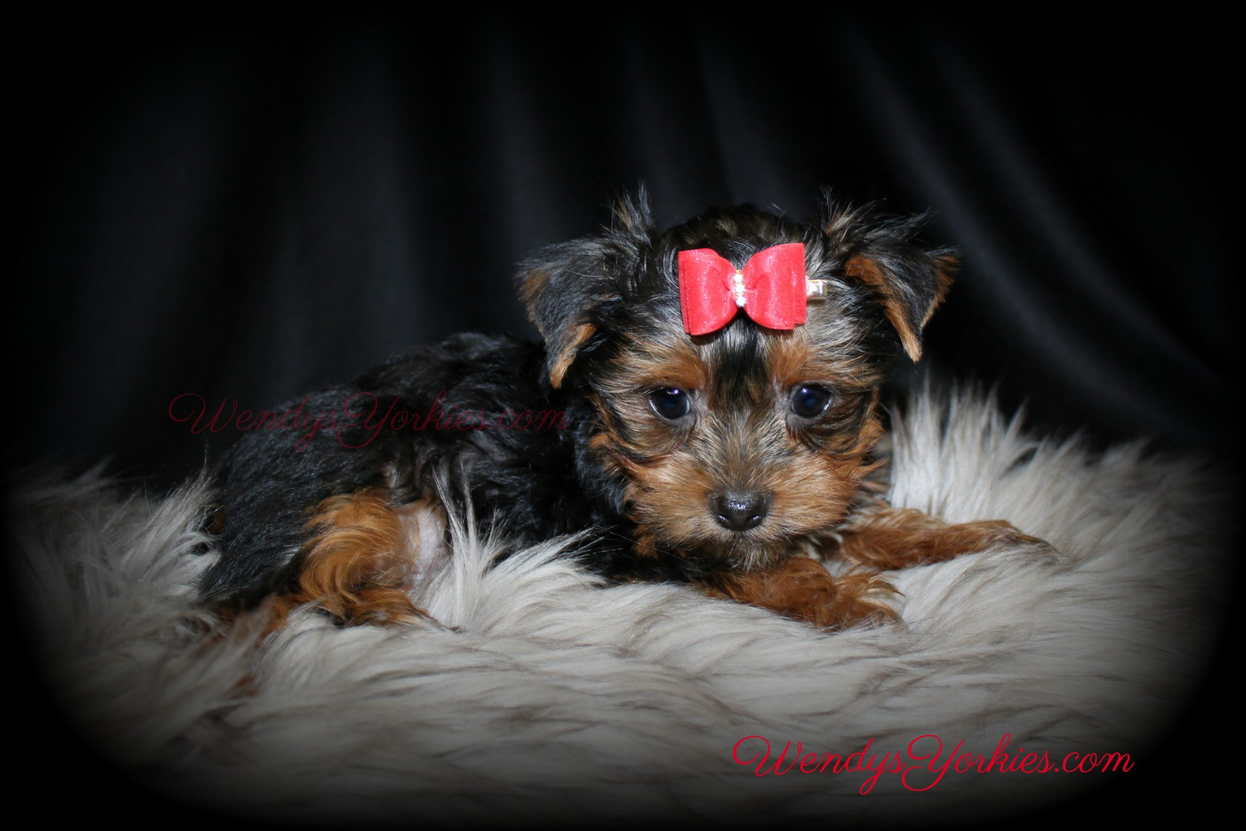 Teacup Male YOrkie puppy for sale, Romeo, WendysYorkies.com