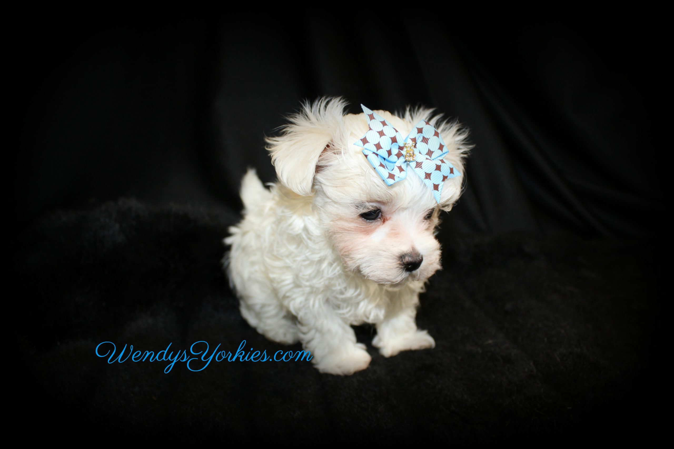 Teacup Maltese puppy for sale, Zeus, WendysYorkies.com