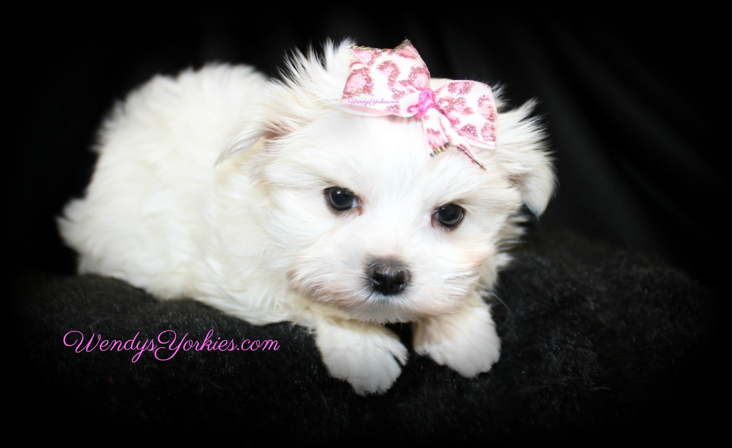 Tiny Maltese puppy for sale in Texas, Ellie, WendysYorkies.com
