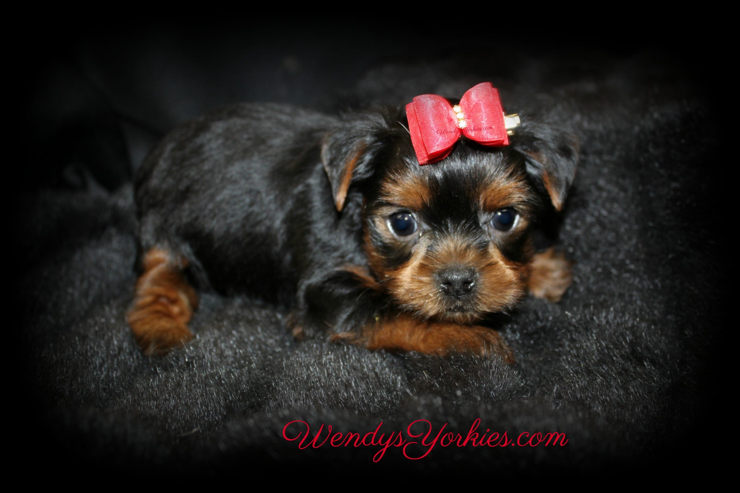 Tiny Yorkie Puppy for sale, Male YOrkie puppy for sale, WendysYorkies.com