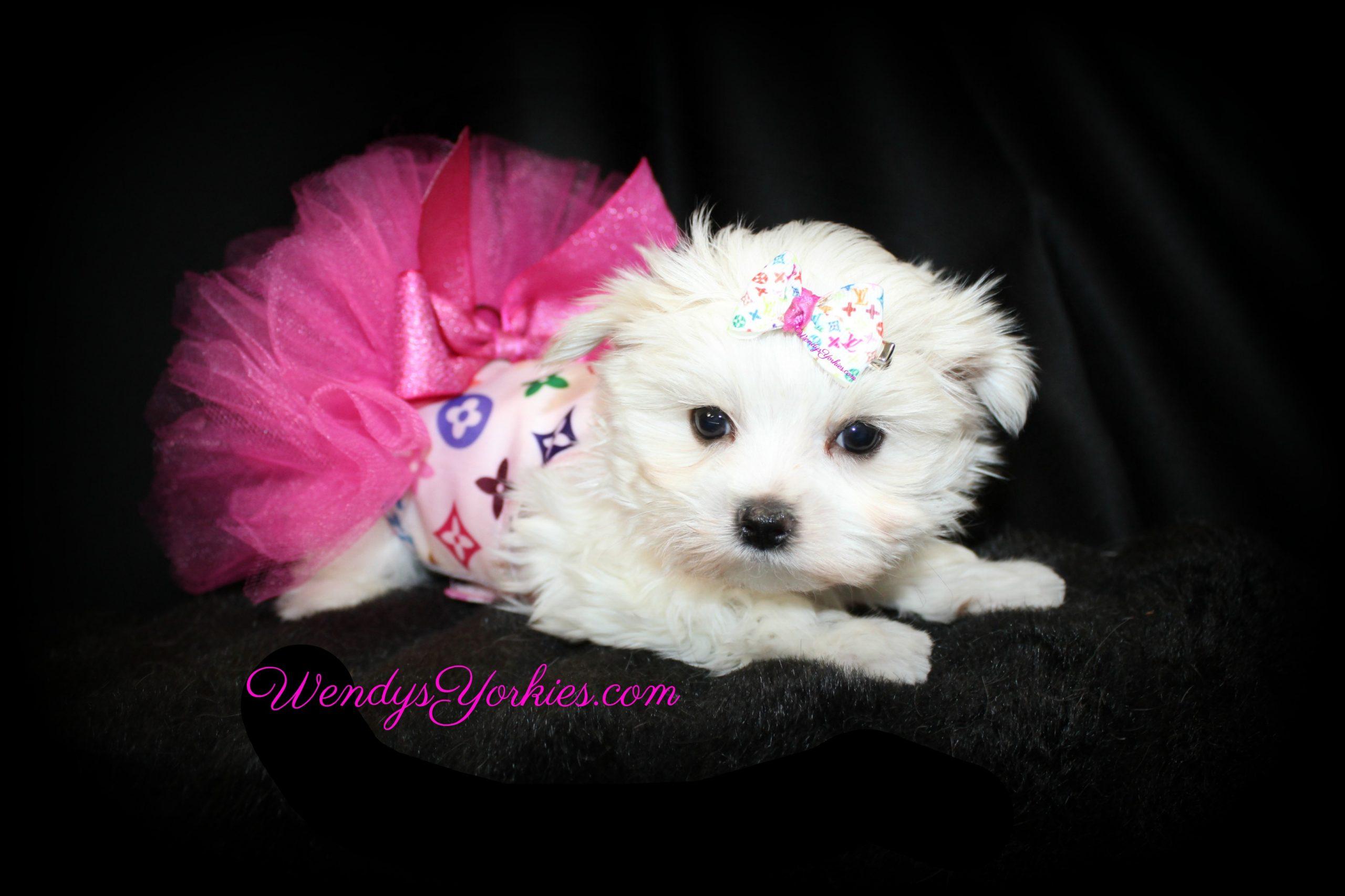 Toy Maltese puppy for sale in Texas, Ellie, WendysYorkies.com