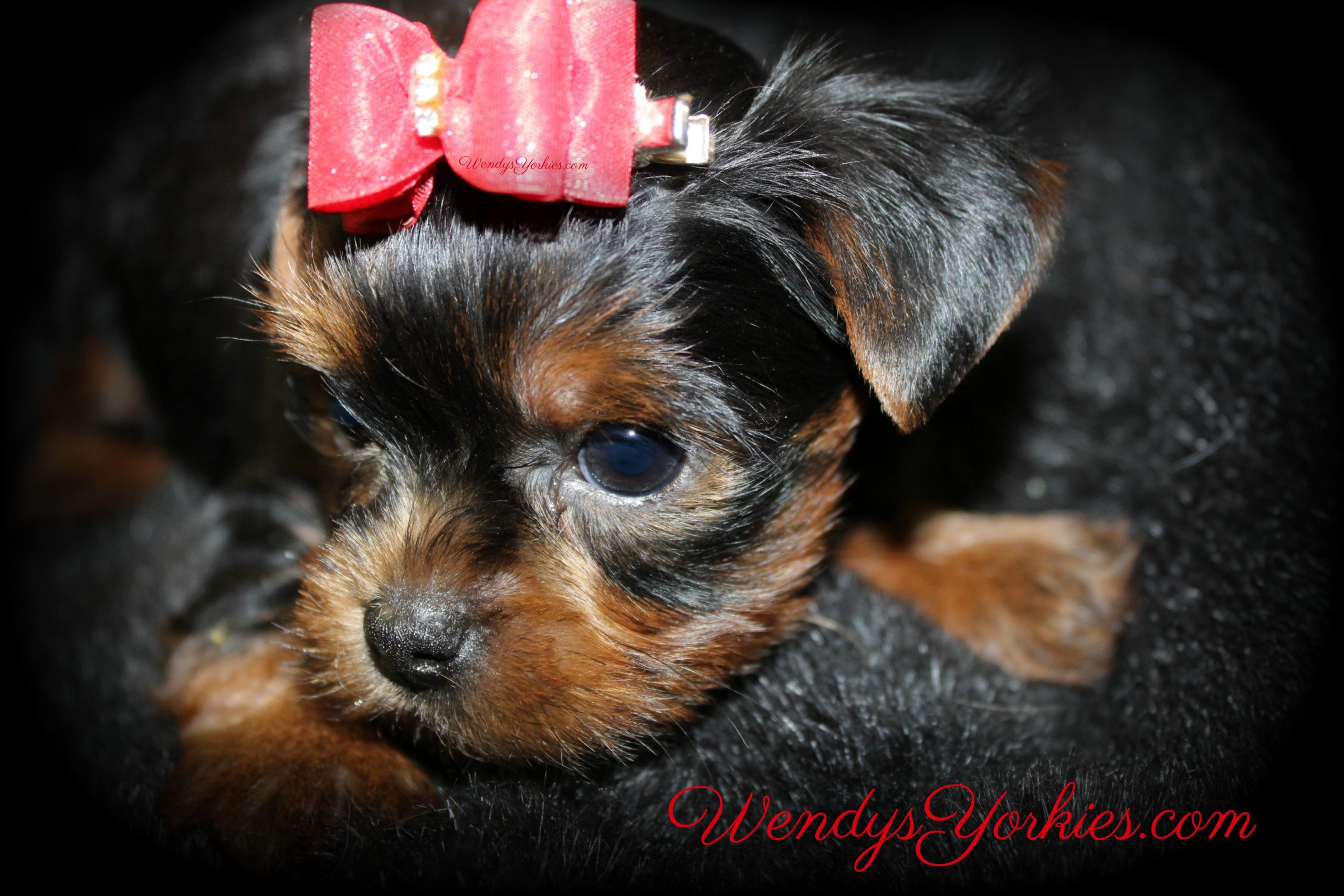 Yorkie profile, Male YOrkie puppy for sale, Cutest Yorkie, WendysYorkies.com