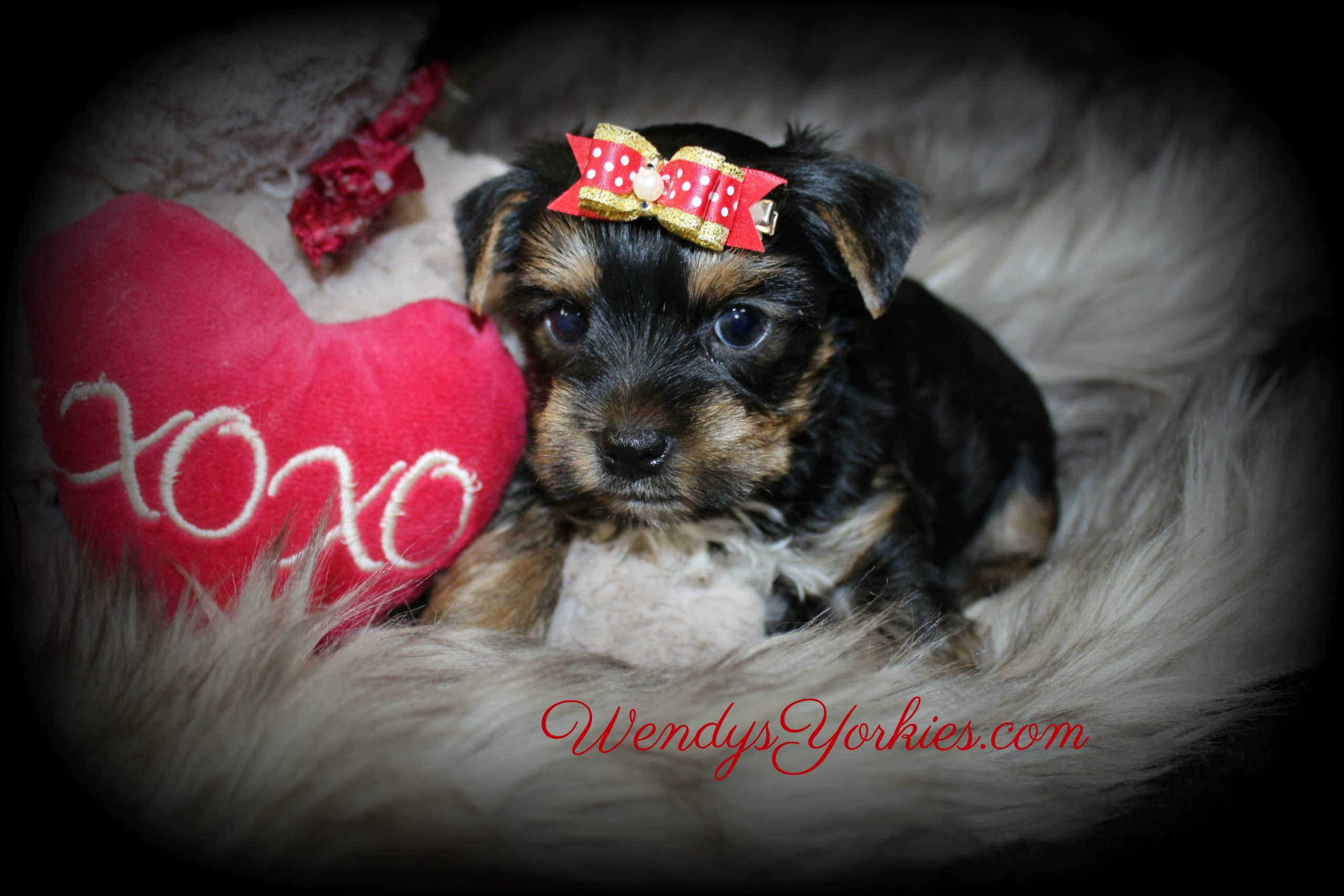 Yorkie puppy for Valentines Day, WendysYorkies.com
