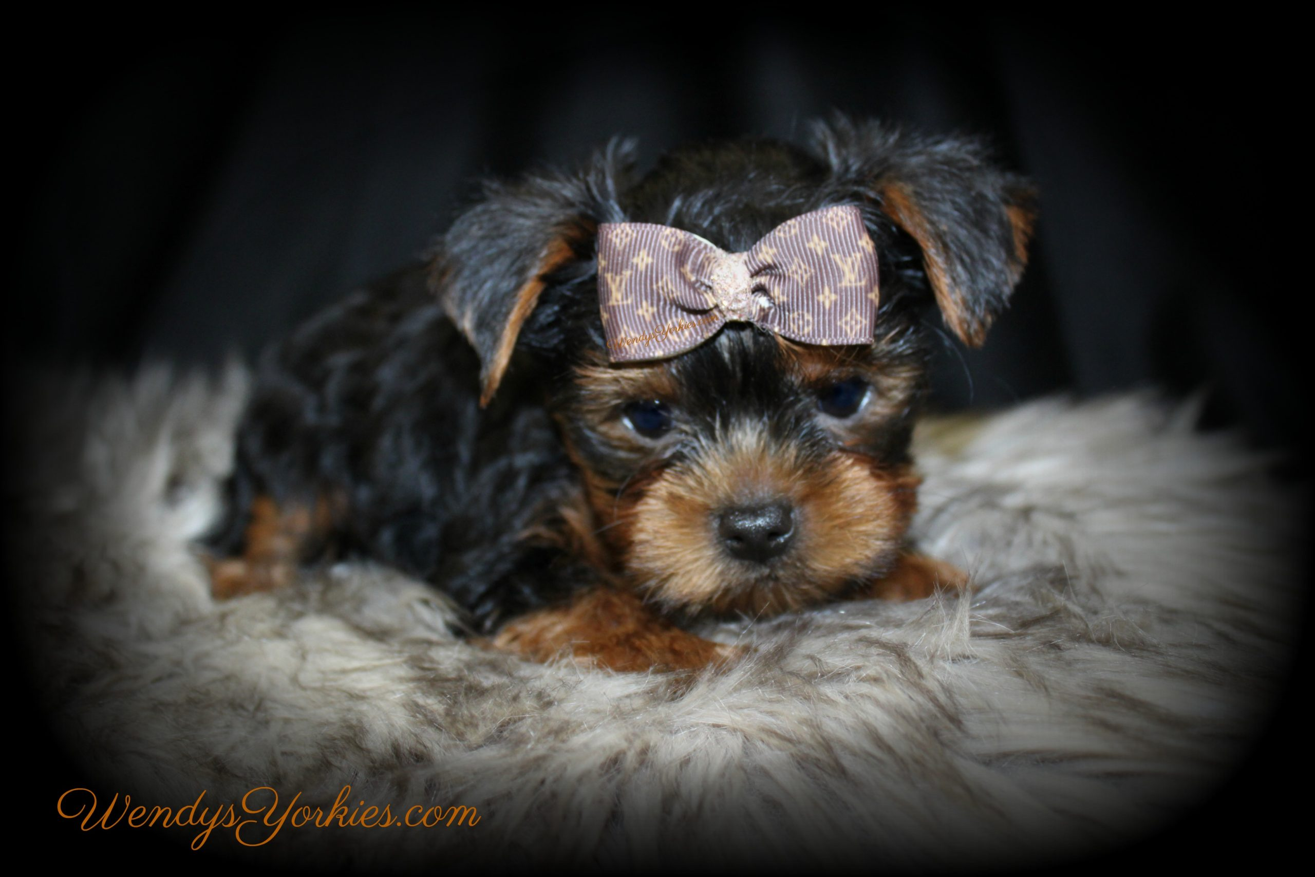 Yorkie puppy for sale in Texas, Louie, WendysYorkies.com