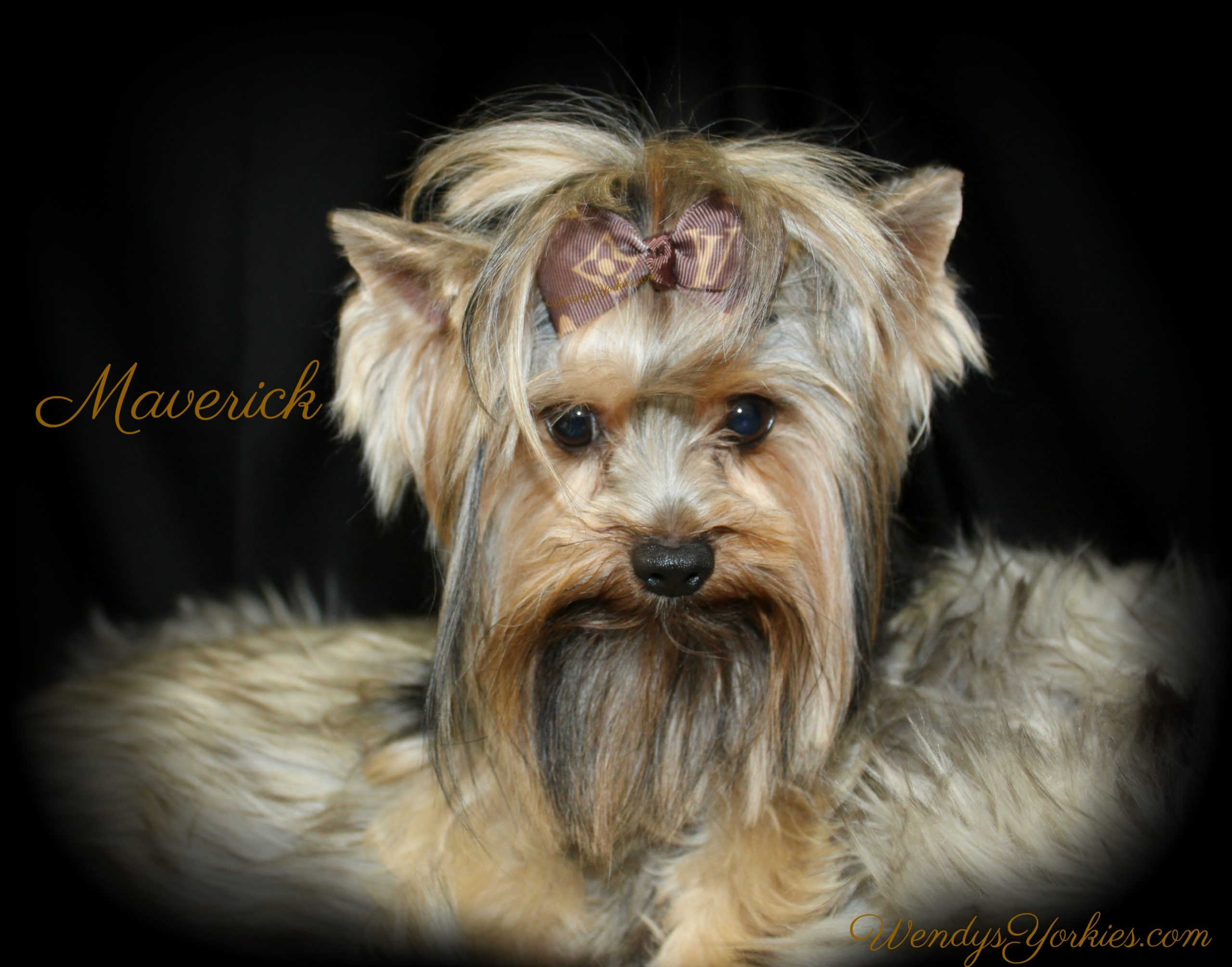 Yorkie Breeder in Texas, Maverick, WendysYorkies.com