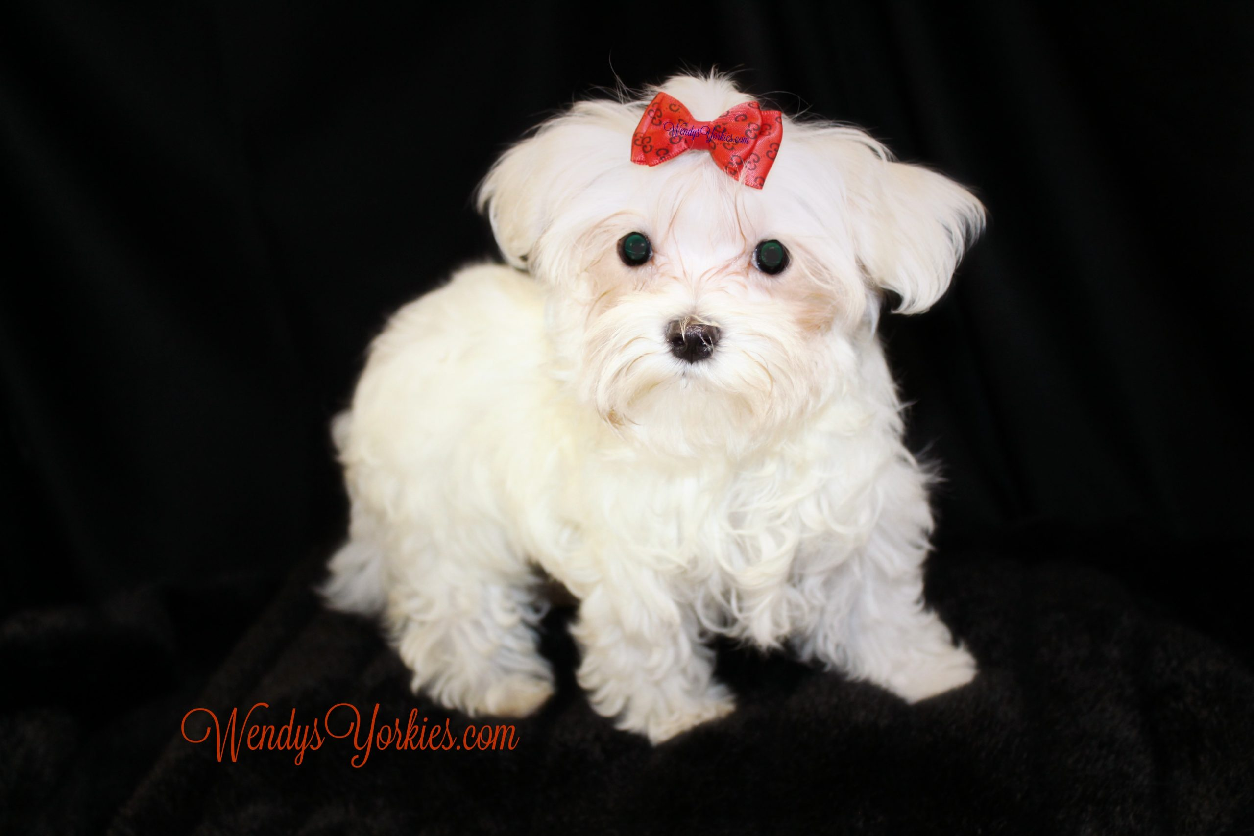 Male Maltese puppy for sale, WendysYorkies.com