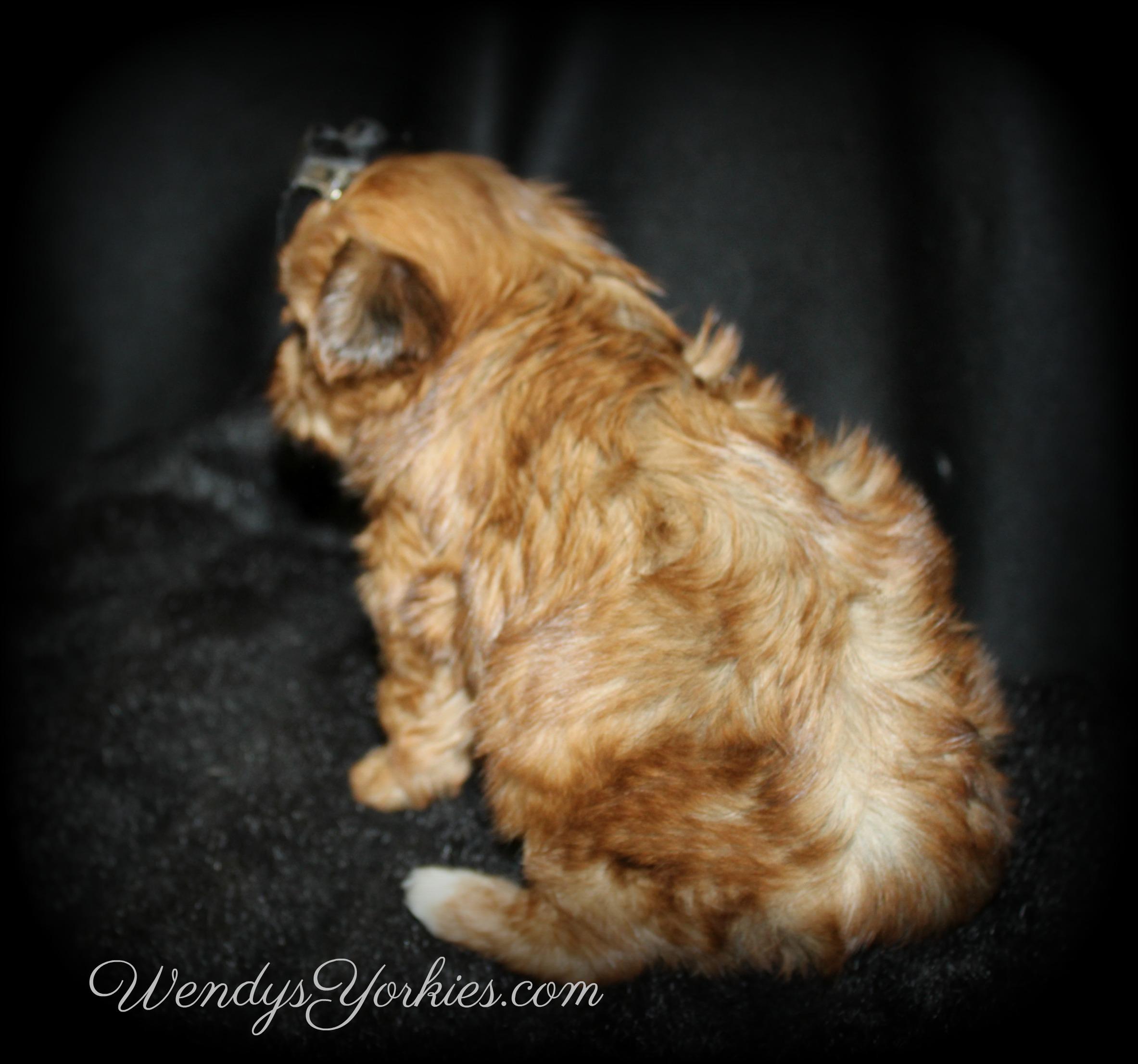 Gold Yorkie puppy, Lela m2, WendysYorkies.com