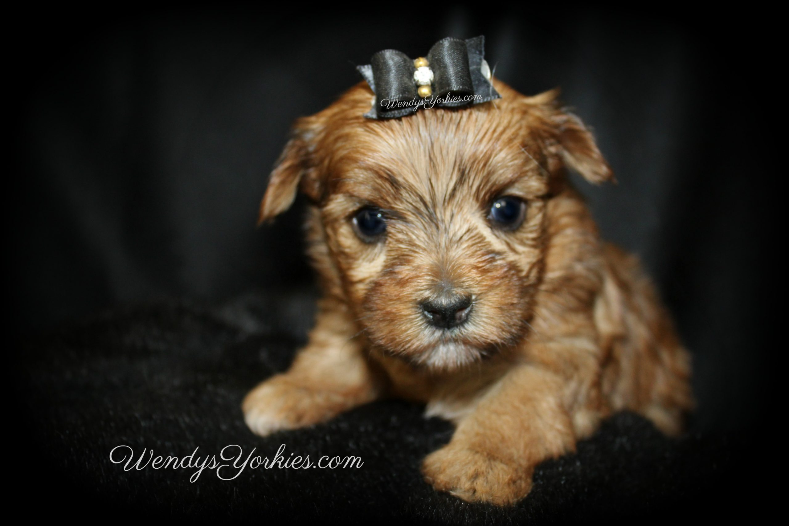 Gold Yorkie puppy for sale, Lela m2, WendysYorkies.com