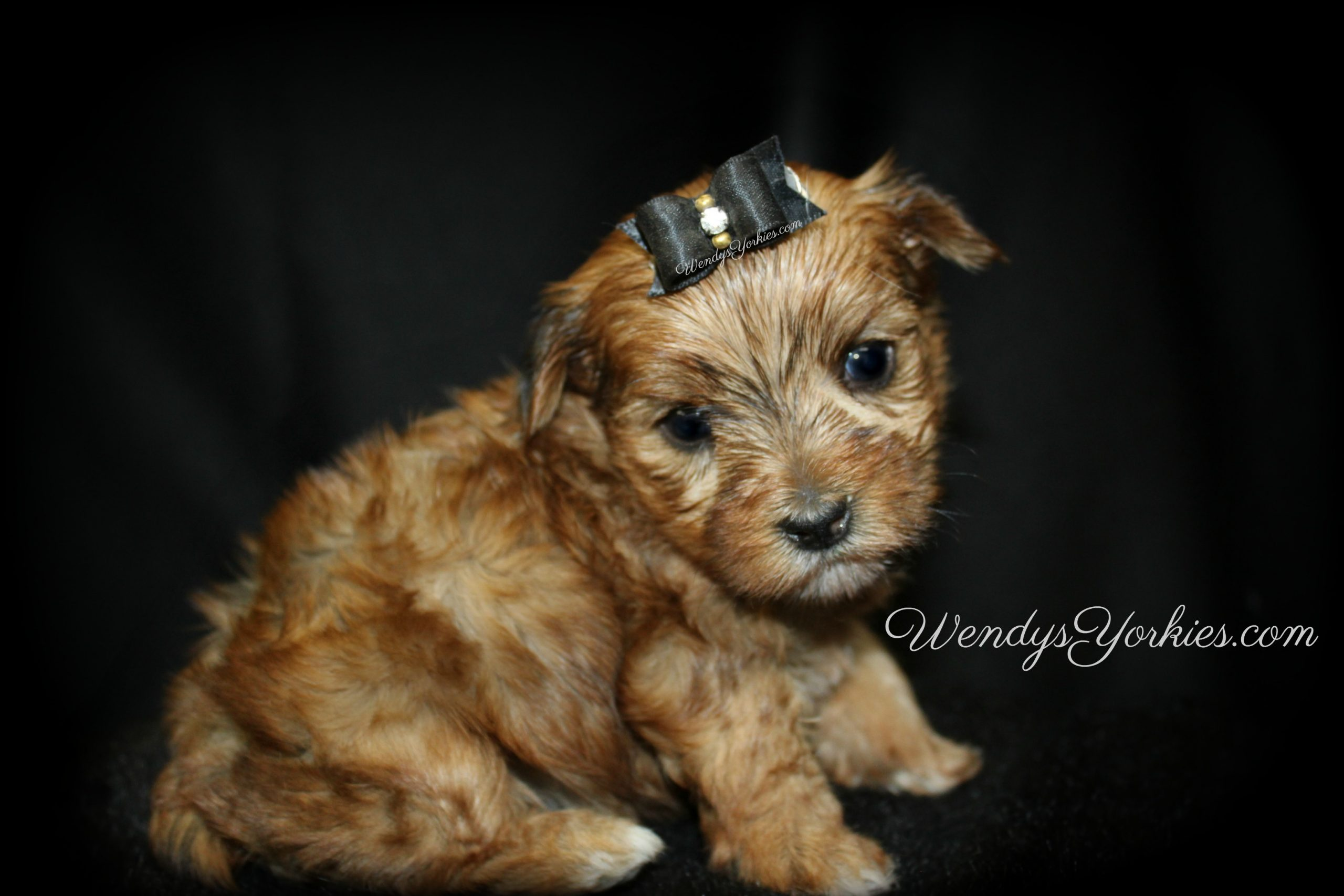 Golden Yorkie puppies for sale in Texas, Male Yorkie puppies for sale, Lela m2,WendysYorkies.com