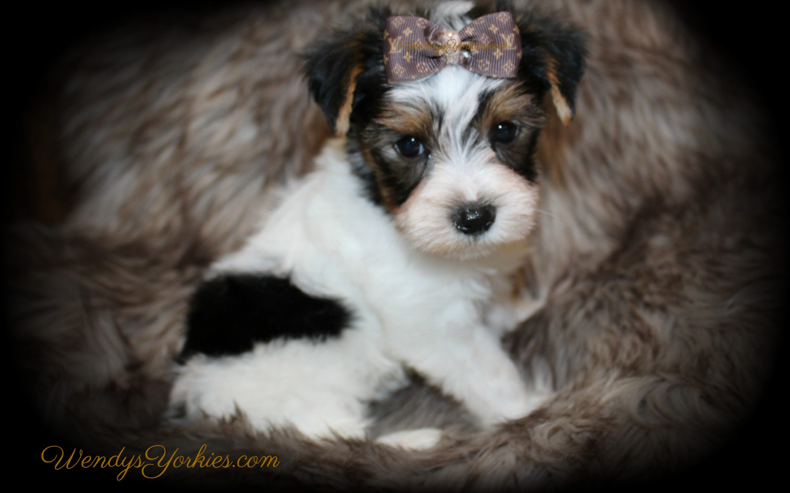 Male Parti Yorkie puppy fro sale in Texas, Sugar pm3, WendysYorkies.com