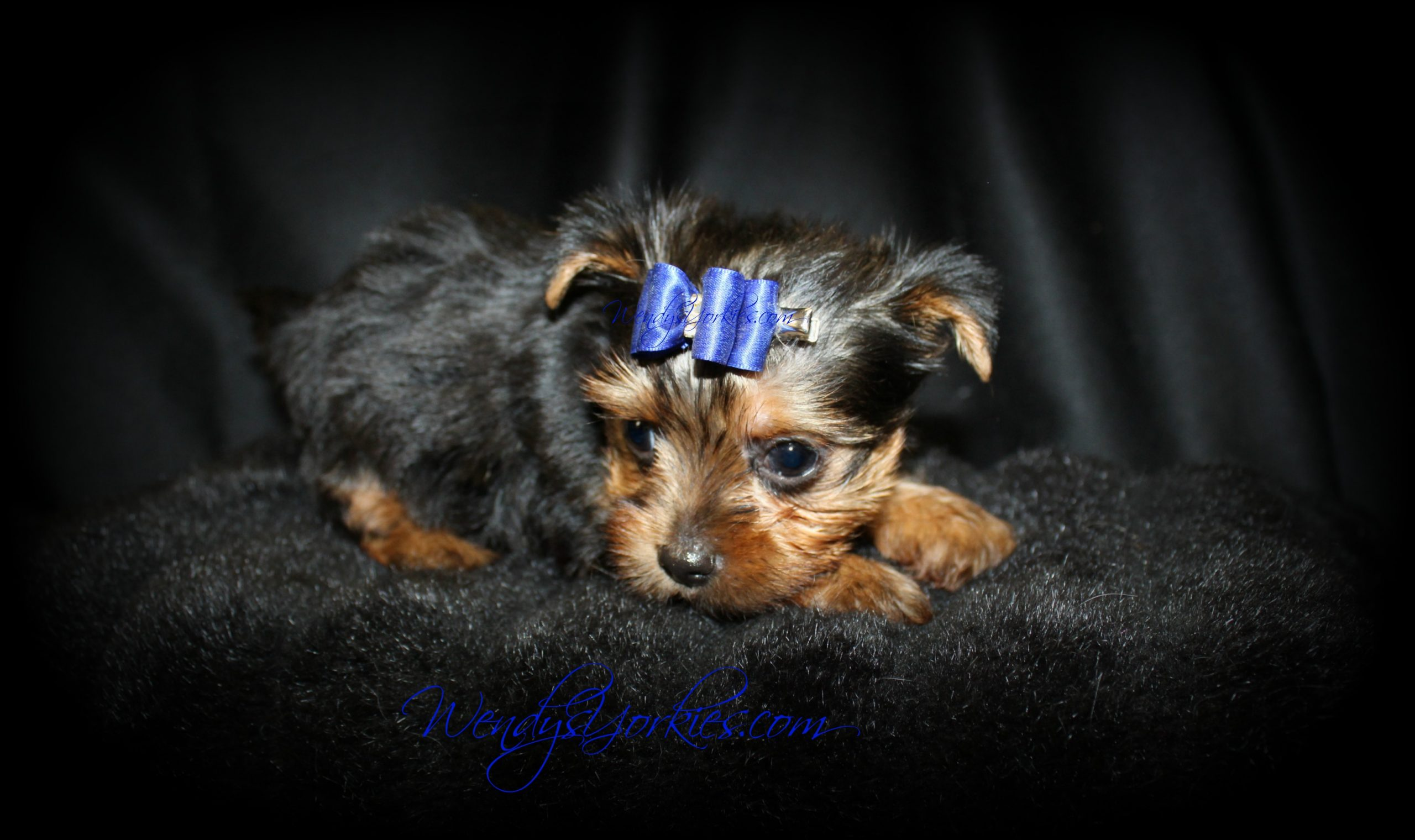 Male Teacup Yorkie puppy for sale in Texas, Star m1, WendysYorkies.com