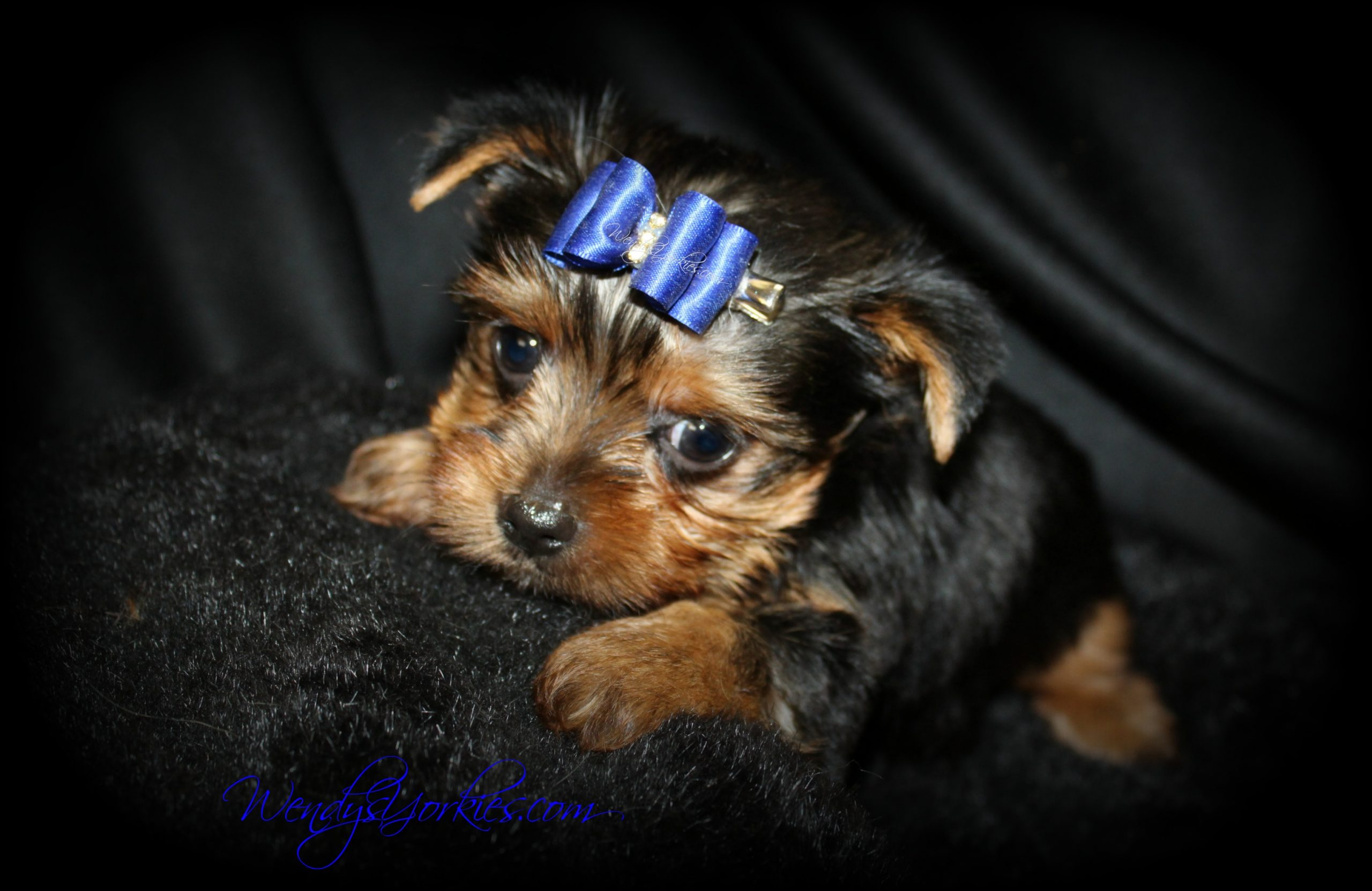 Male Yorkie puppy, Star m1, WendysYorkies.com
