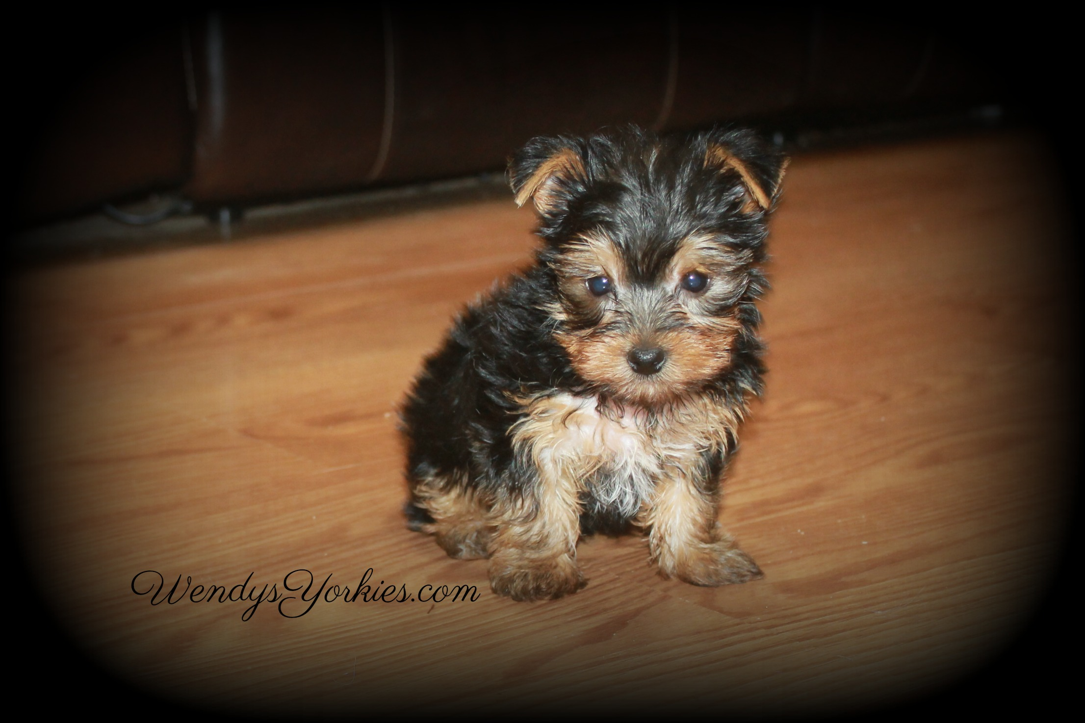 Male Yorkie puppy for sale, Jans, WendysYorkies.com