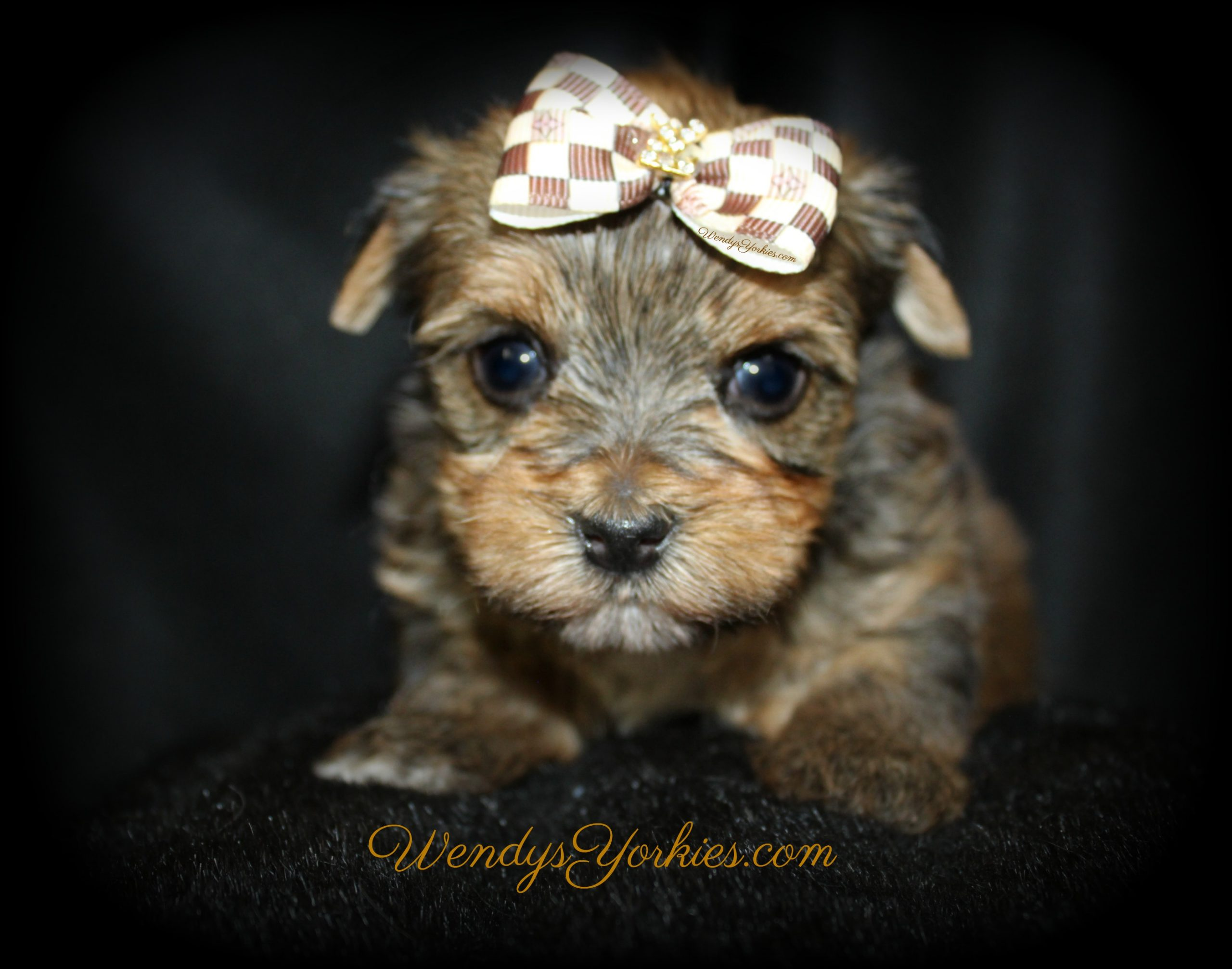 Male Yorkie puppy for sale in Texas, Lela m3, WendysYorkies.com