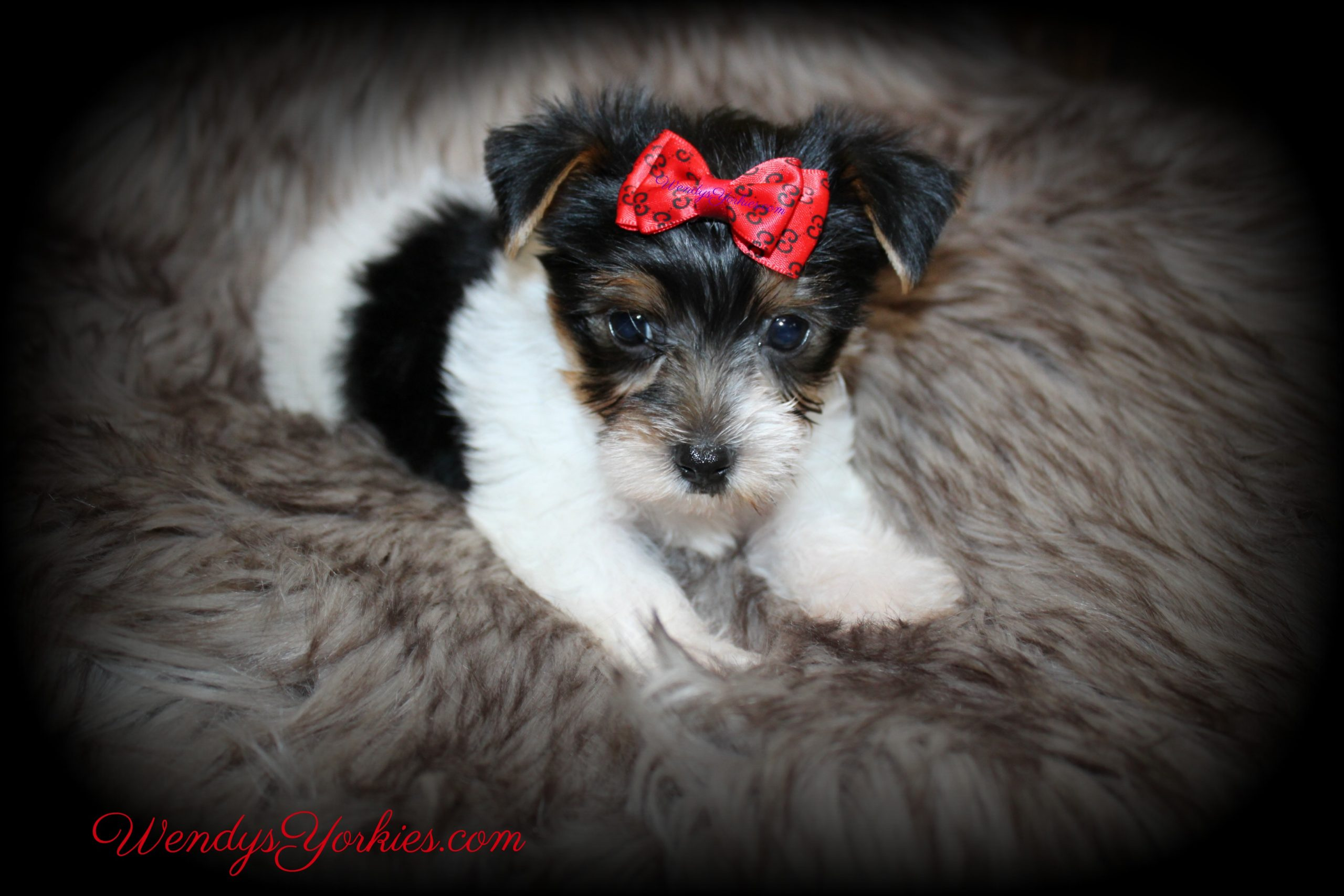Parti Yorkie puppies for sale in Texas, Sugar pm2, WendysYorkies.com