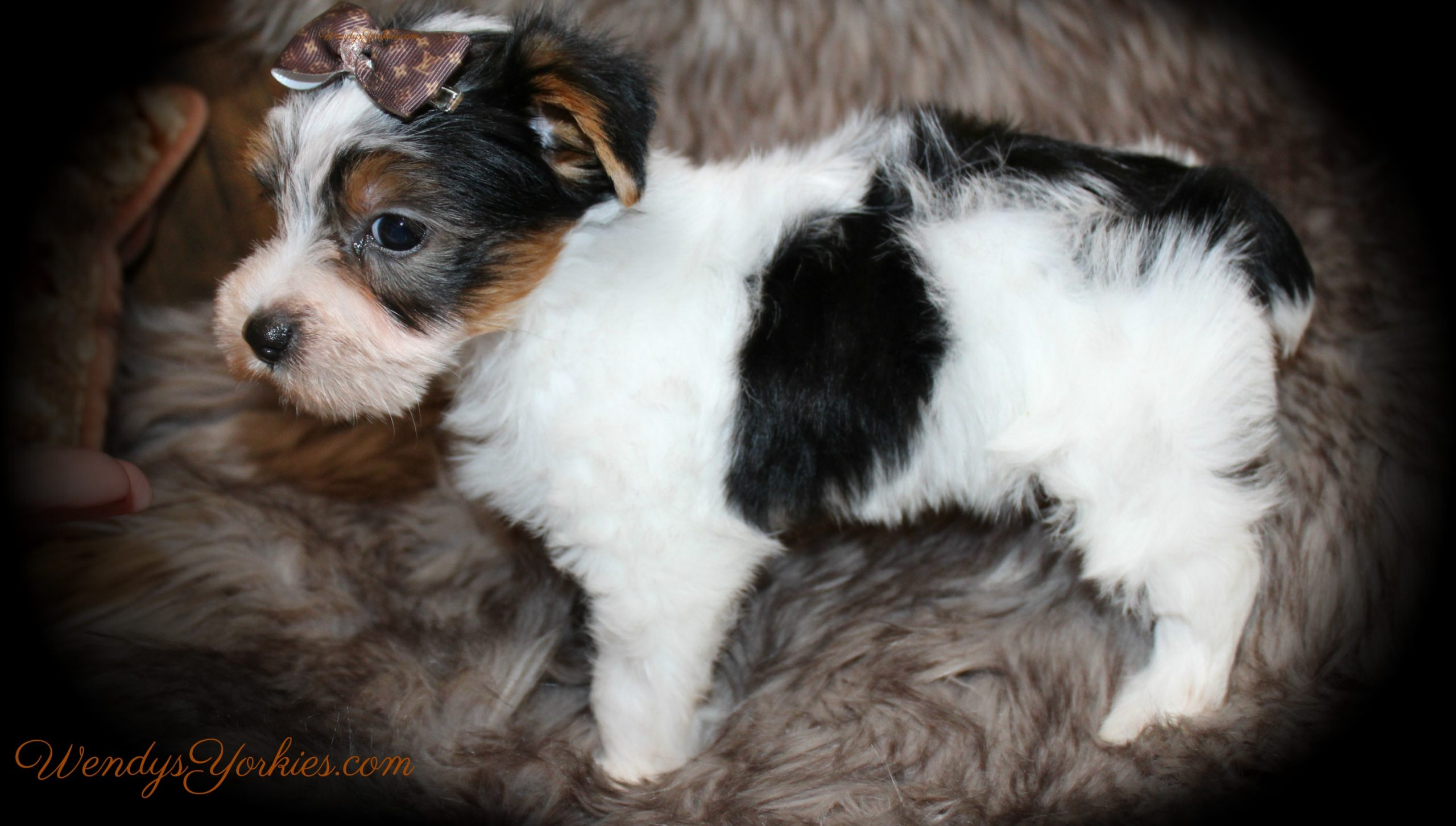 Parti male Yorkie puppy l side, Sugar m3, ,WendysYorkies.com
