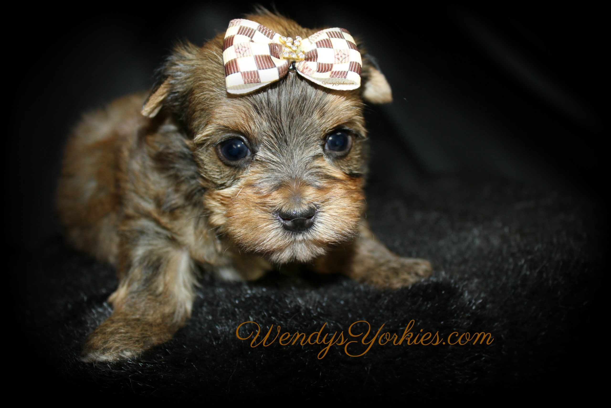 Sable Blonde Male Yorkie puppy for sale, Lela m3, WendysYorkies.com