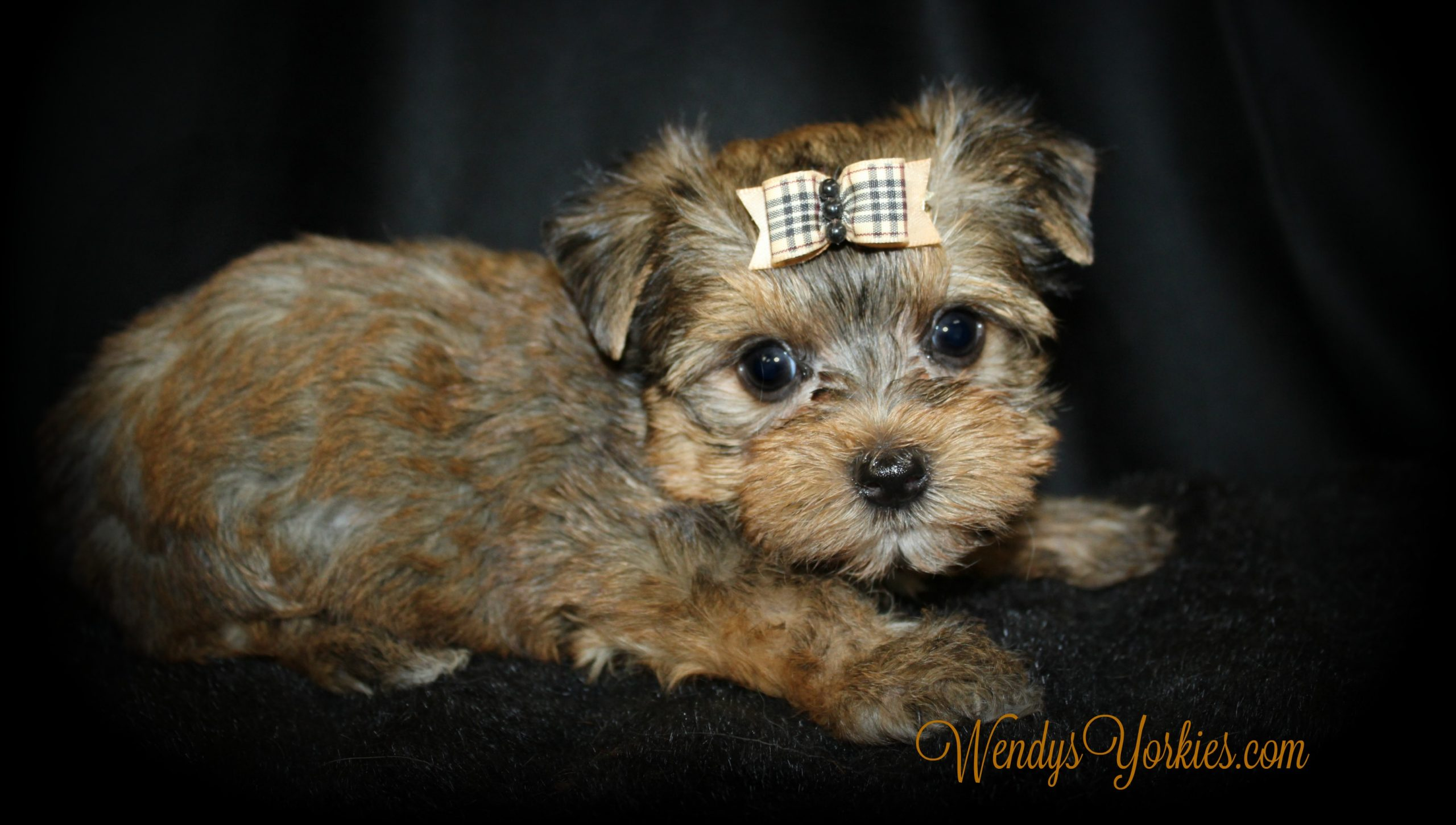 Sable Blonde Yorkie puppy for sale in Texas, Creed,WendysYorkies.com
