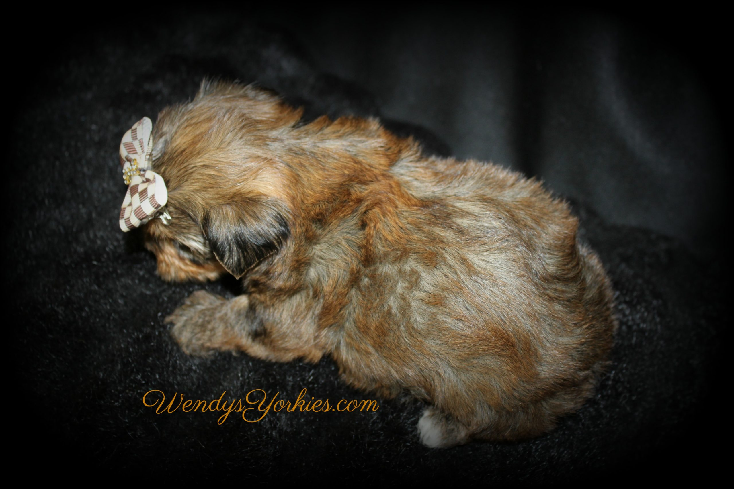 Sable Blonde Yorkie puppy for sale in Texas, Lela m3, WendysYorkies.com