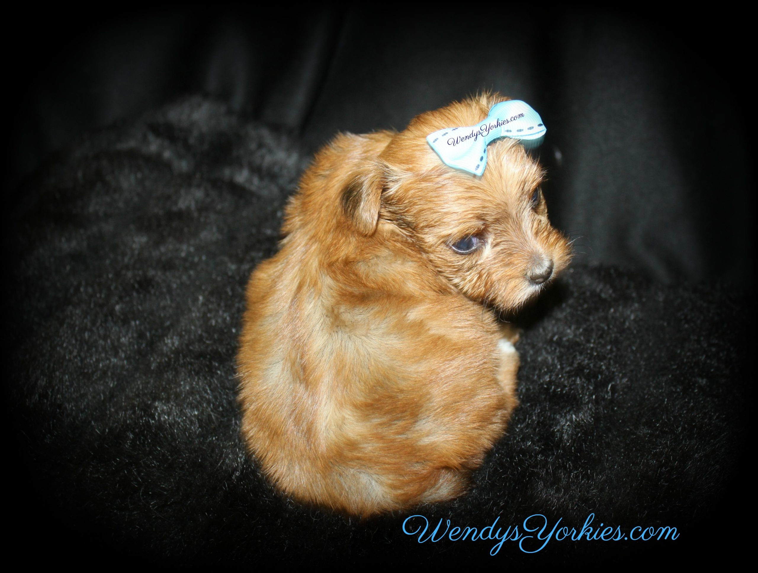 Teacup Blonde Yorkie puppy for sale, Lela m1, WendysYorkies.com