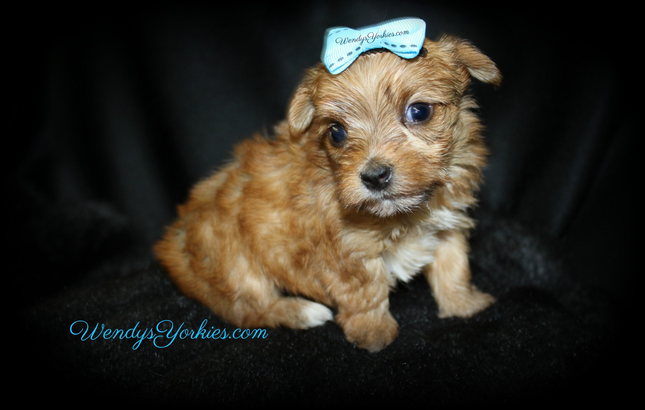 Teacup Gold Yorkie puppy for sale in Texas, Lela m1, WendysYorkies.com
