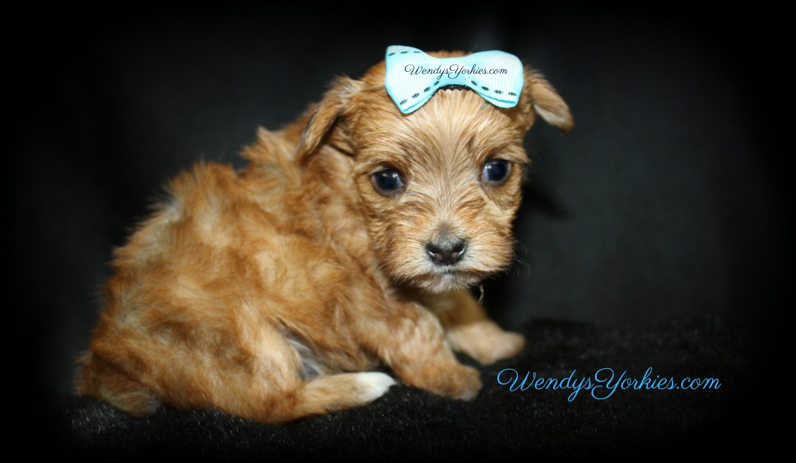 Teacup Male Yorkie puppy for sale, Lela m1, WendysYorkies.com