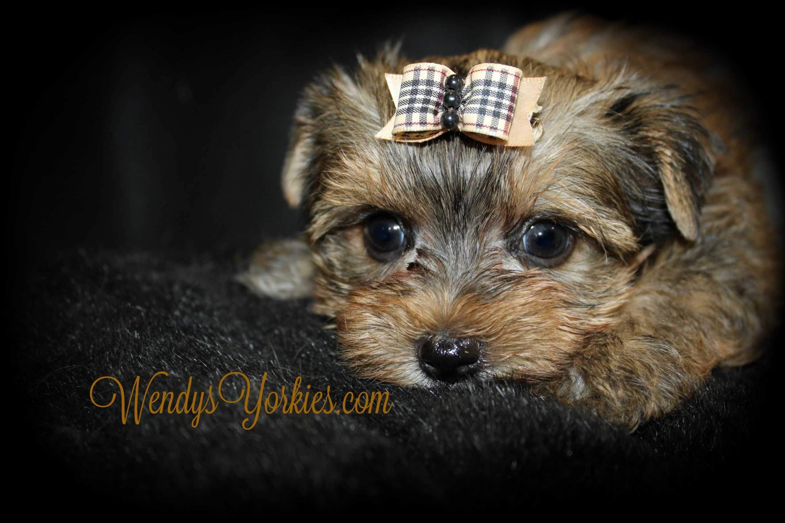 Teacup Yorkie puppy for sale, Creed, WendysYorkies.com