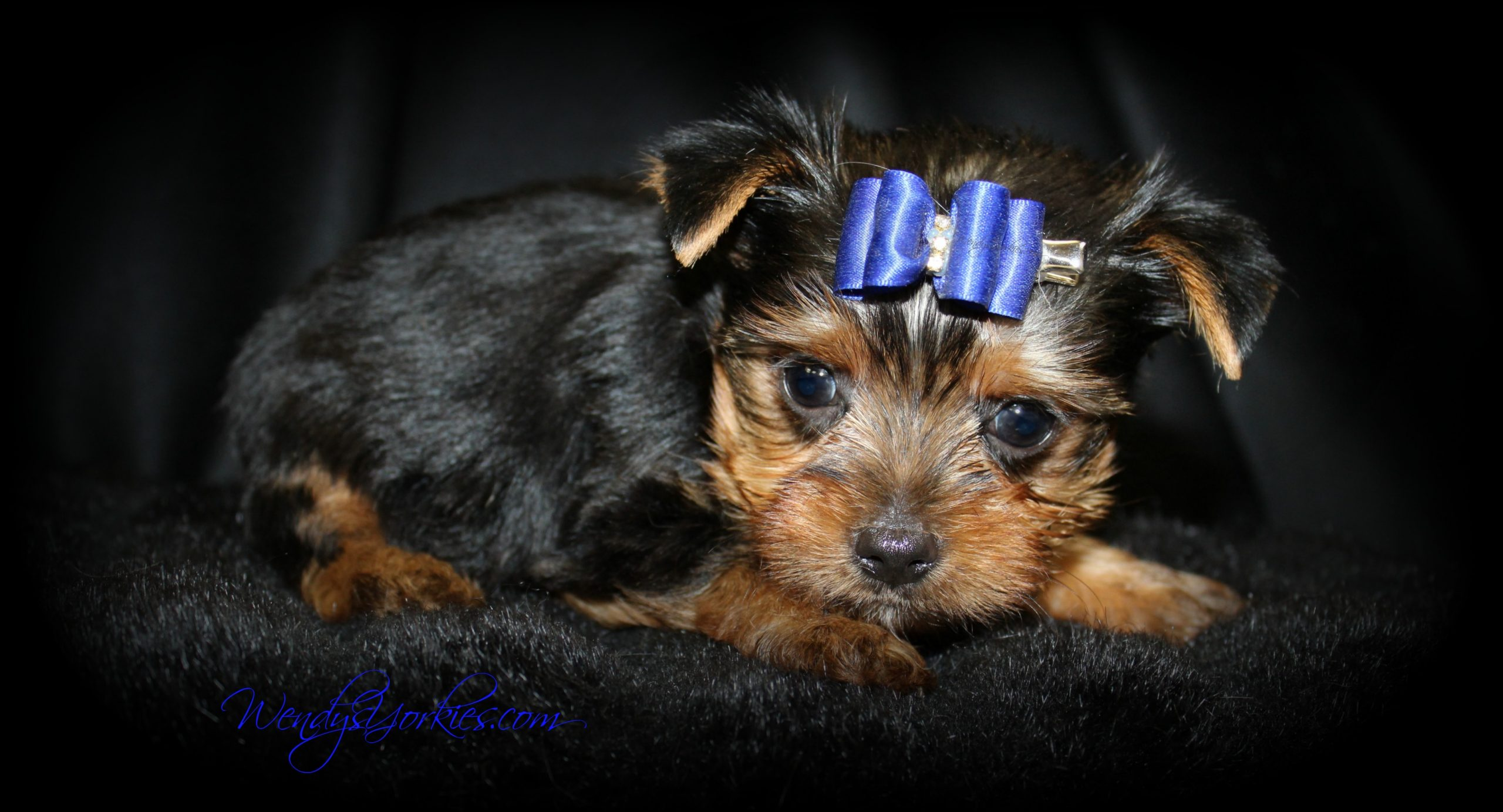 Teacup Yorkie puppy for sale, Star m1, WendysYorkies.com