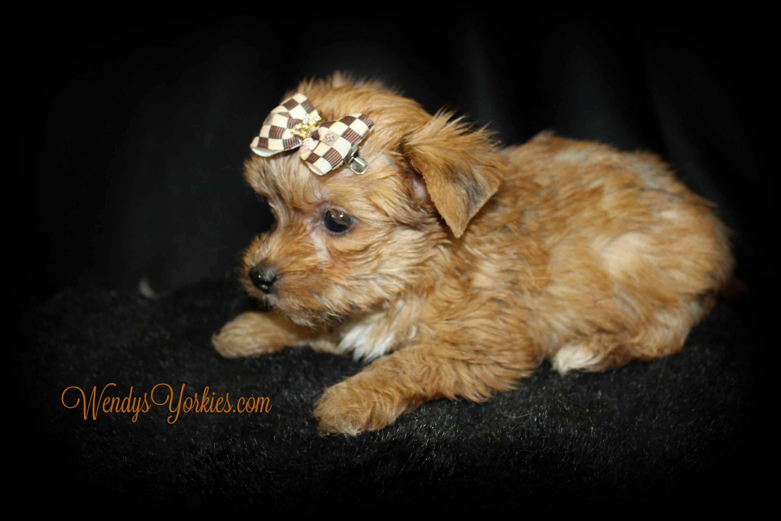 Tiny Blonde Yorkie puppy, Legend, WendysYorkies.com